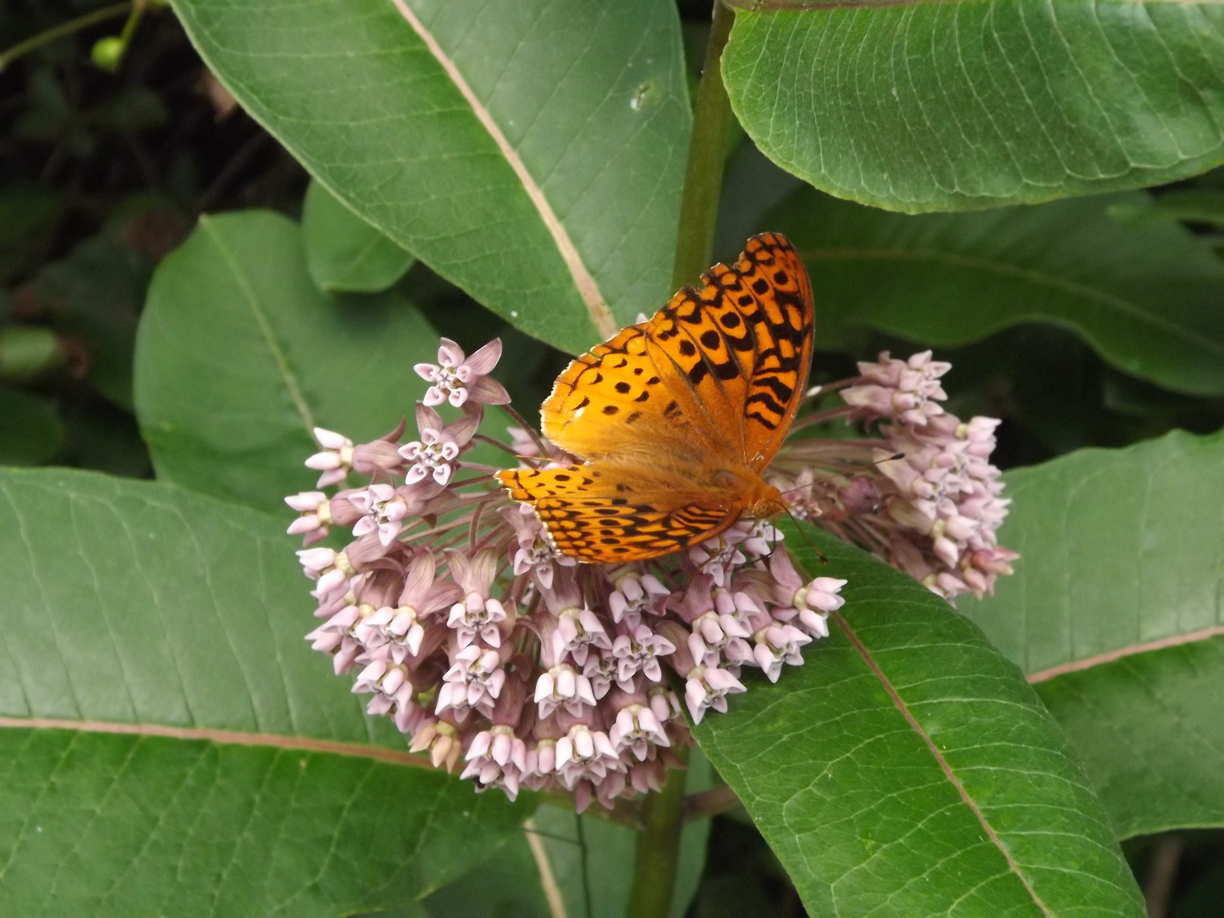 Great Spangled Fritillary Butterfly ( Speyeria cybele )