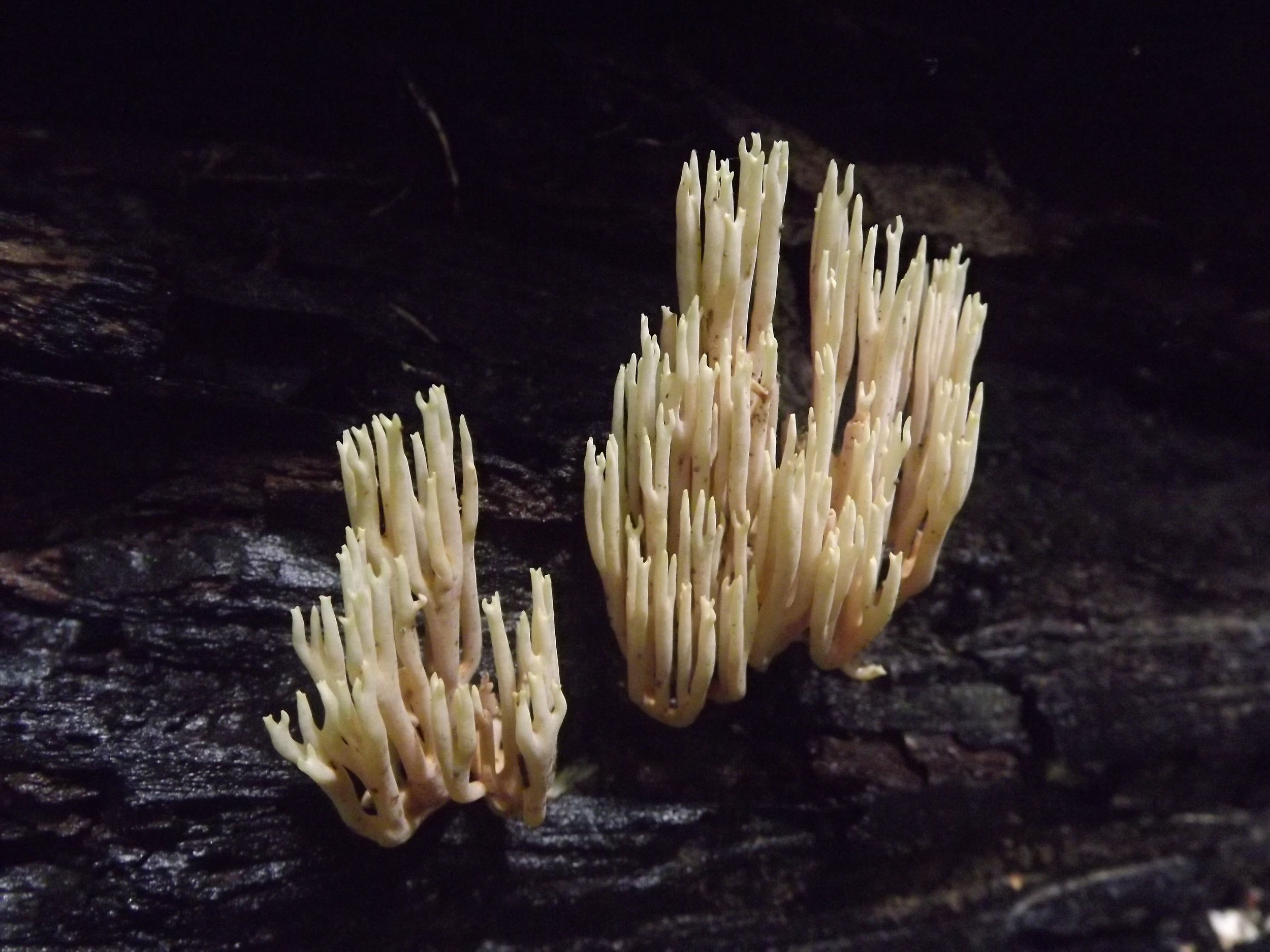 Crown Tipped Coral Fungus ( Artomyces pyxidatus ) - This is the first I've run into Crown Tipped Coral fungus this year and surprisingly I found this cluster with several other clusters nearby.. more than I've ever seen before at one time. So I can only assume it's due to the especially wet summer we've had.