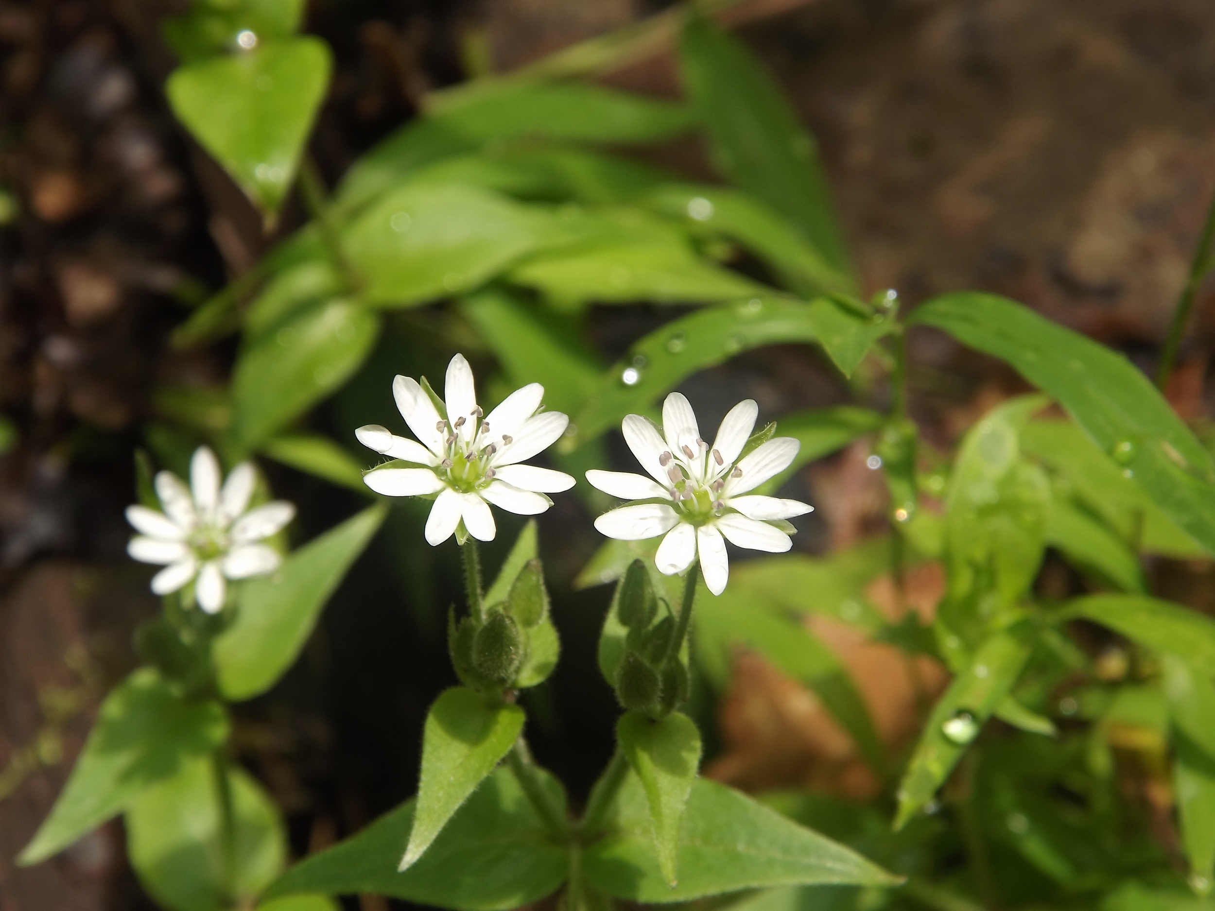 Star Chickweed ( Stellaria pubera ) - This was the only Star Chickweed plant I found on Sunday and as with many of the other specimens I find, it was right next to the creek with its roots probably in the water. A pretty little flower, the blossoms are no bigger than a nickel and the plant only reaches about knee high in height.