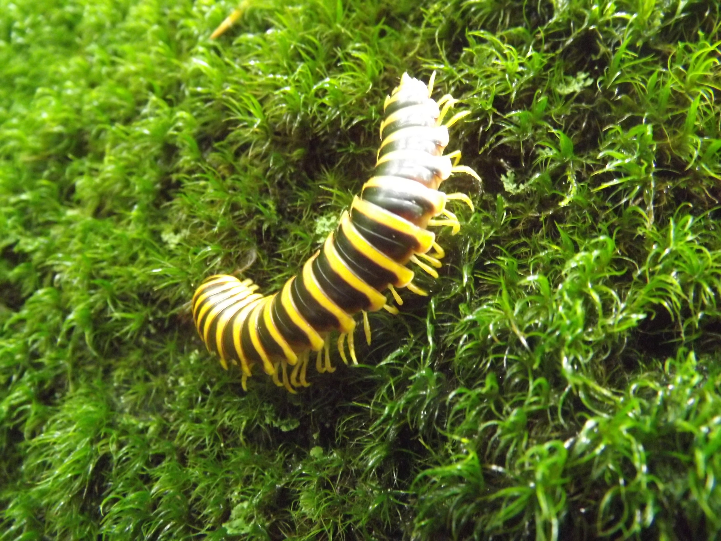 Apheloria Millipede ( Apheloria virginiensis ) - This is the first I've photographed an Apheloria Millipede and I'm almost certain of my identification. This milipede was walking across some moss and wouldn't stop so the picture is a little out of focus. But I wanted to include it in this post since I saw three other Apheloria Millipedes on Sunday, so they must like wet weather too.