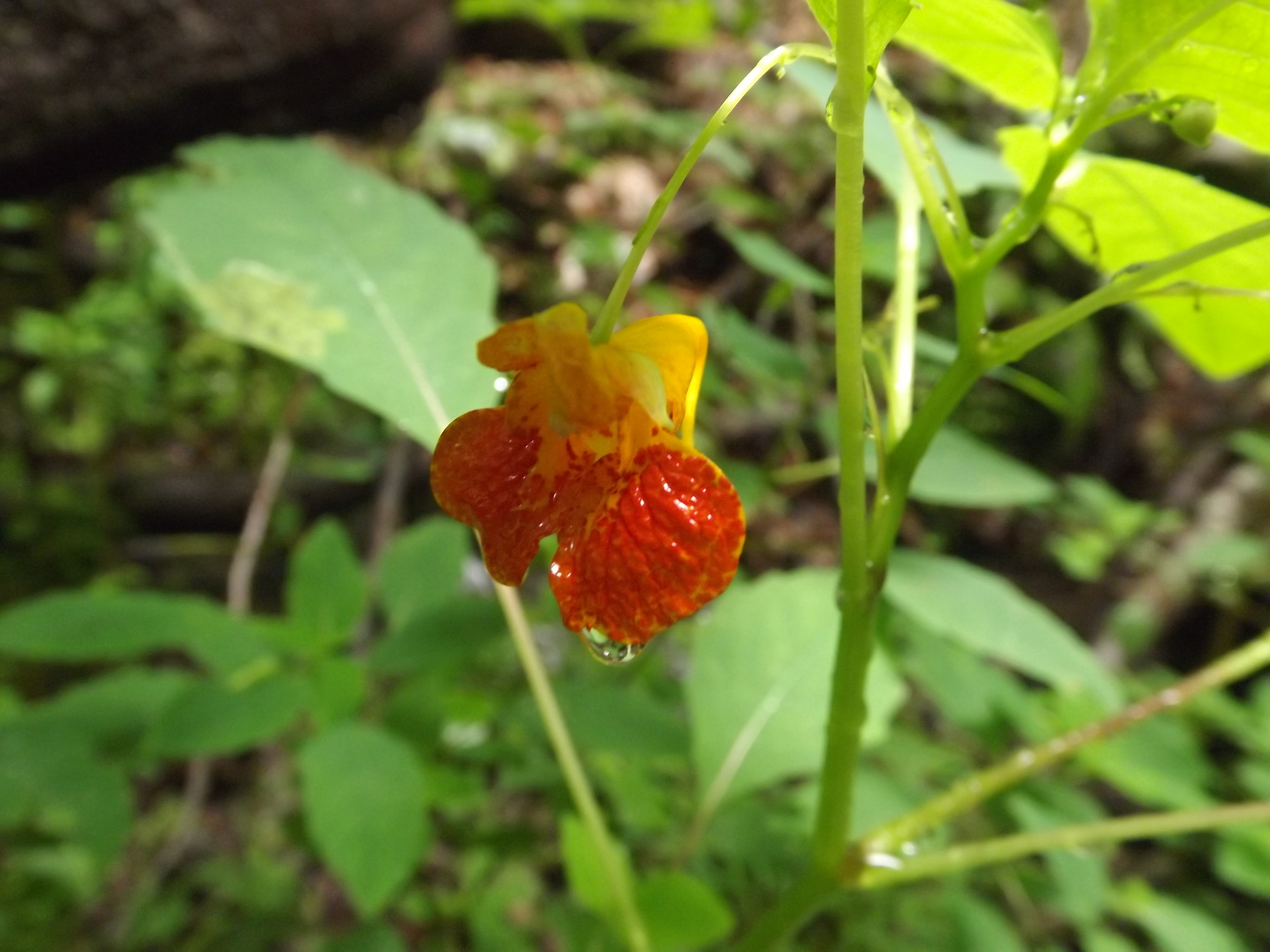 Spotted Touch Me Not ( Impatiens capensis )