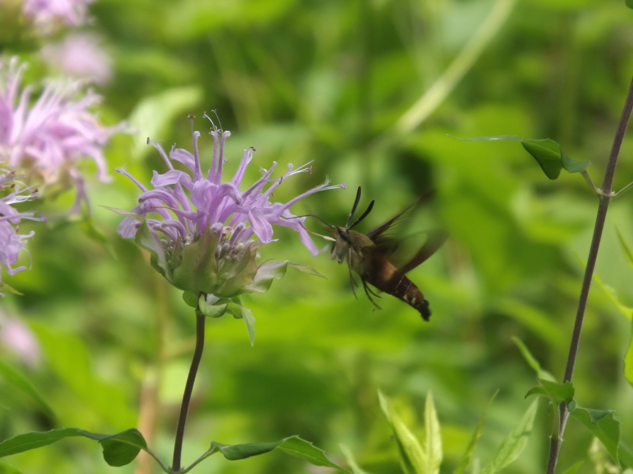 Hummingbird Moth ( Hemaris thysbe ) - Hummingbird Moths are aptly named since they look, fly, and have similar feeding habits just like true Hummingbirds. It is really odd to me how similar they actually are, but Hummingbird Moths are beautiful in their own right. This was the only picture I was able to get, so thankfully it was in focus since the moth was gone a few seconds later.
