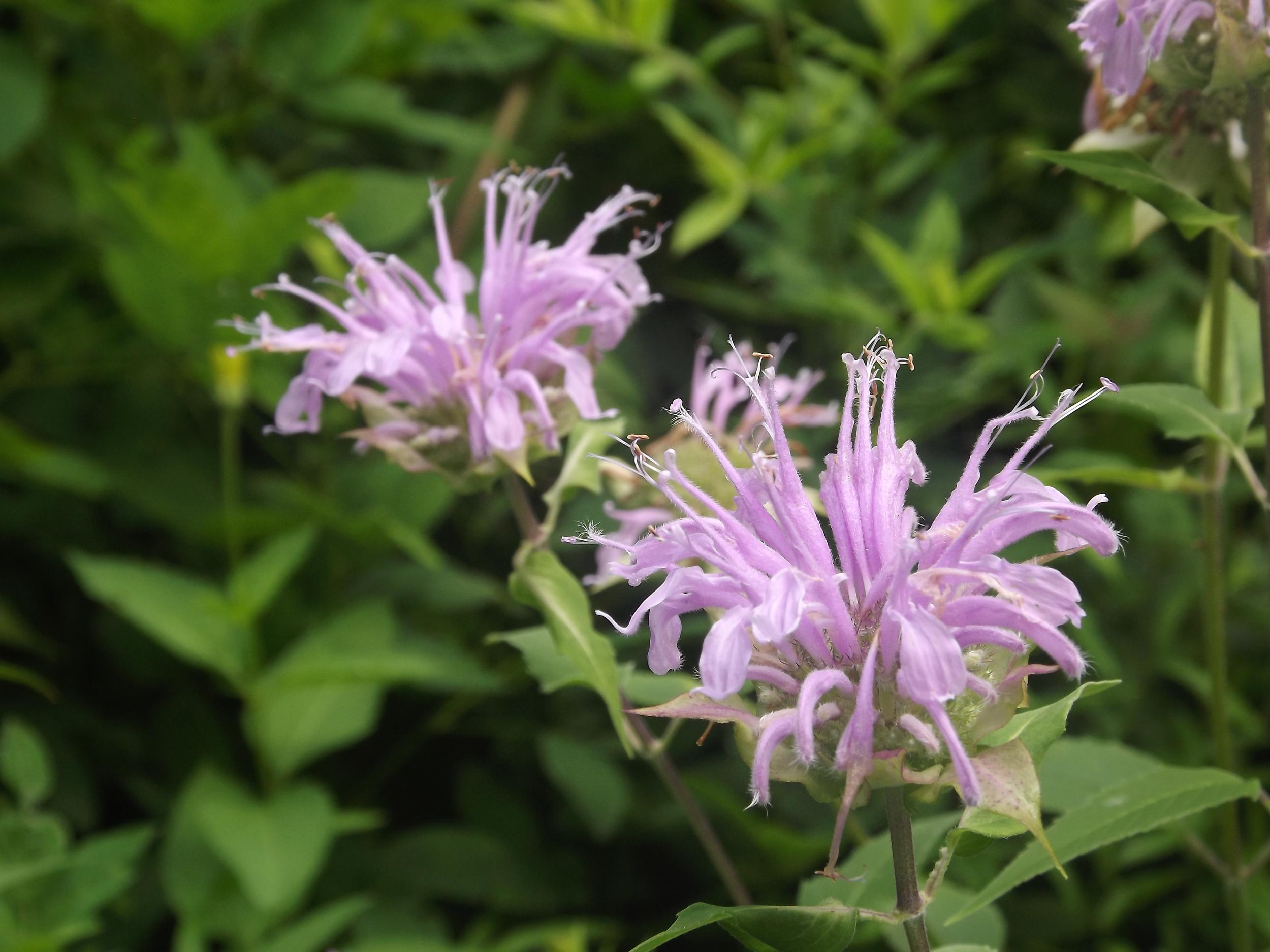 Wild Bergamot ( Monarda fistulosa )