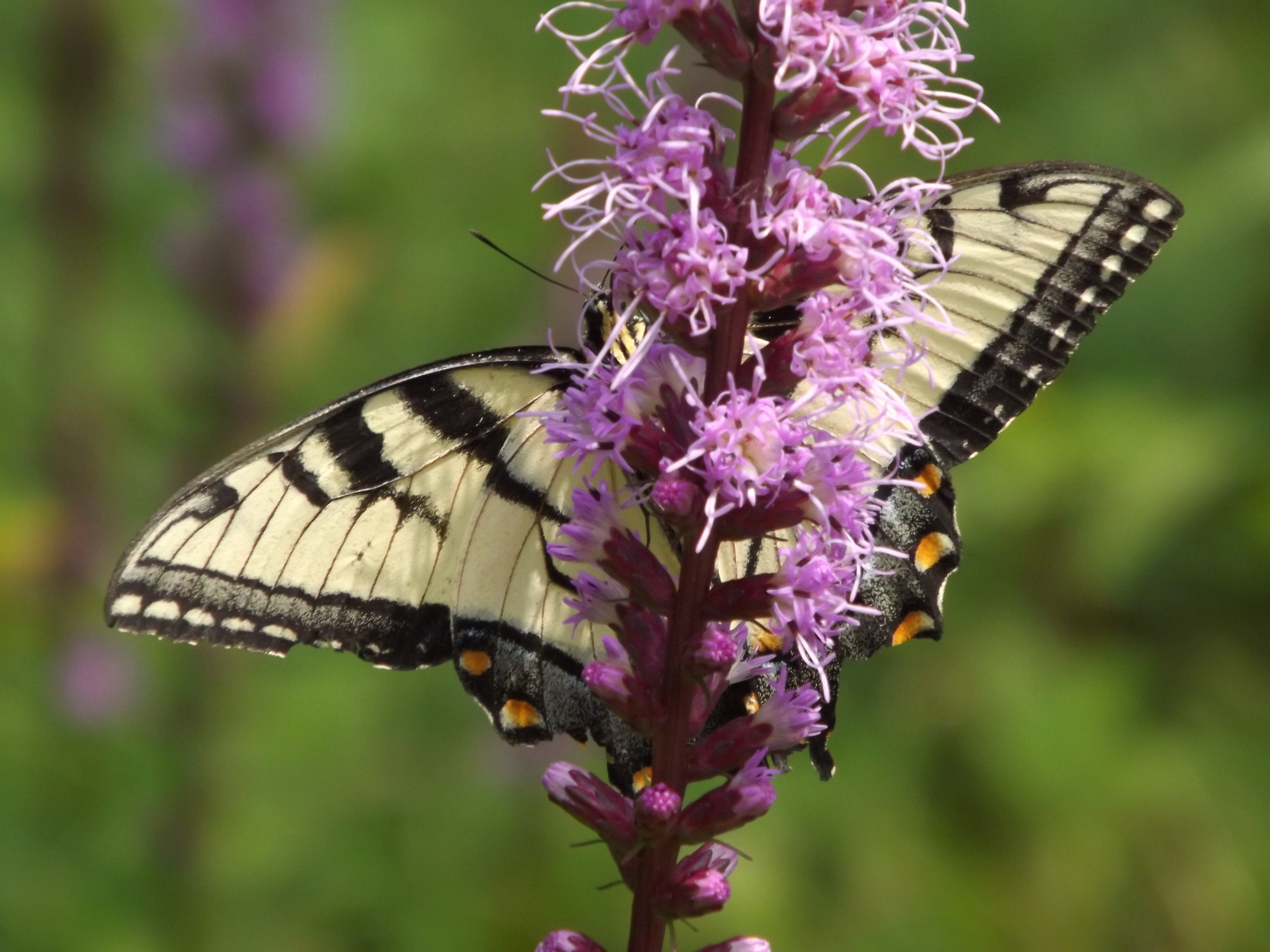 Eastern Tiger Swallowtail ♂ ( Papilio glaucus )