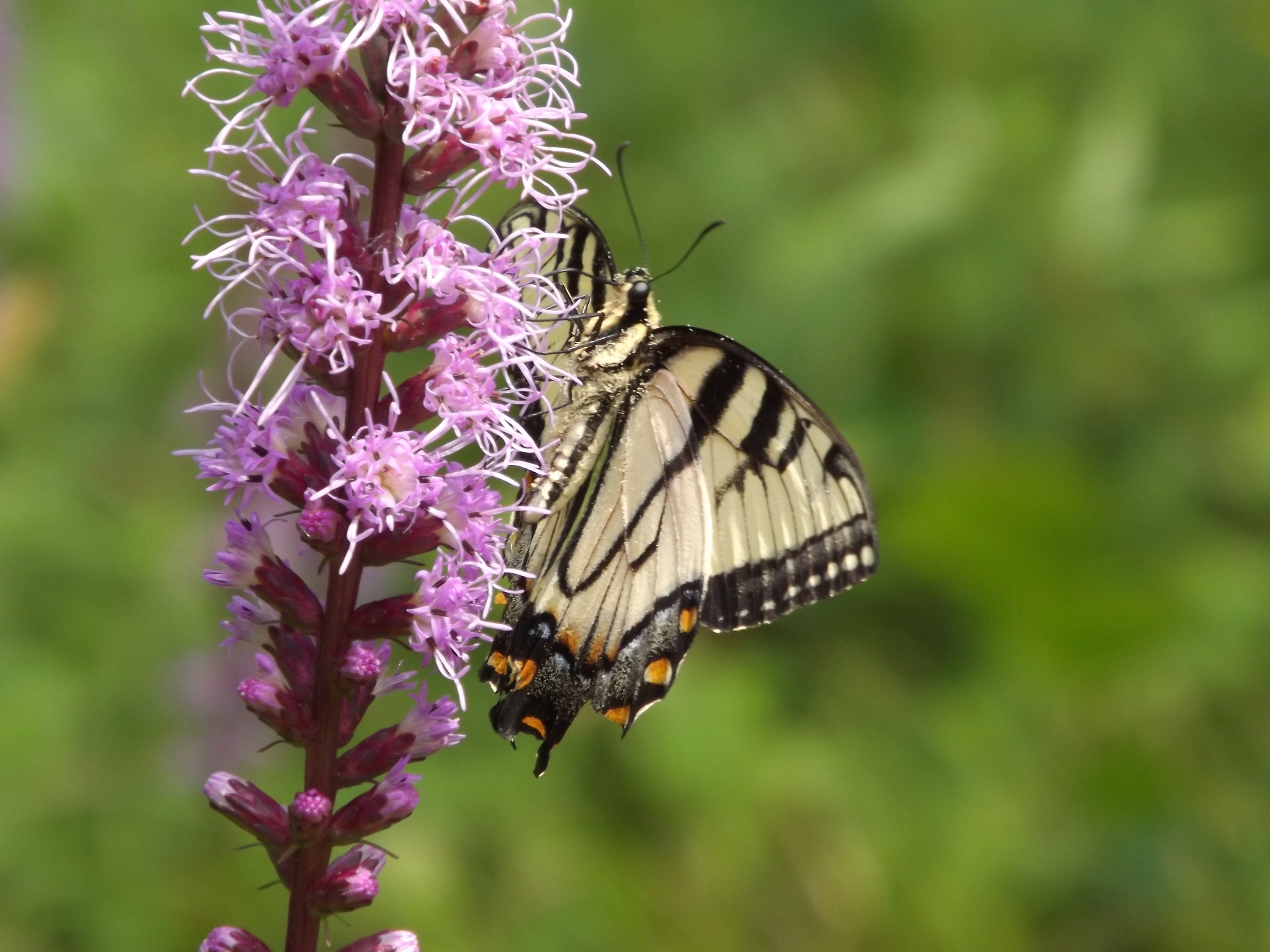 Eastern Tiger Swallowtail ♀ ( Papilio glaucus )