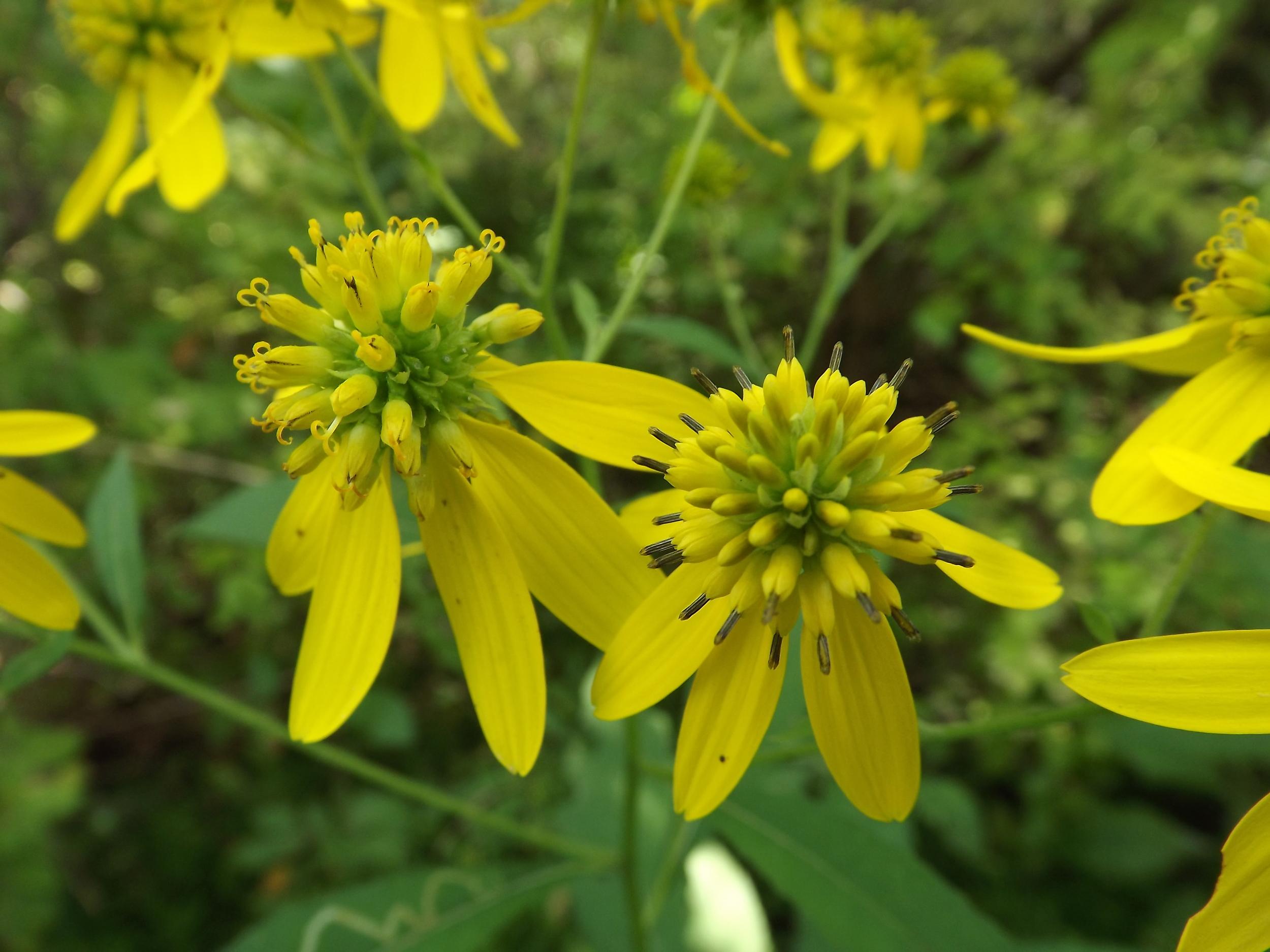 Yellow Ironweed ( Verbesina alternifolia )
