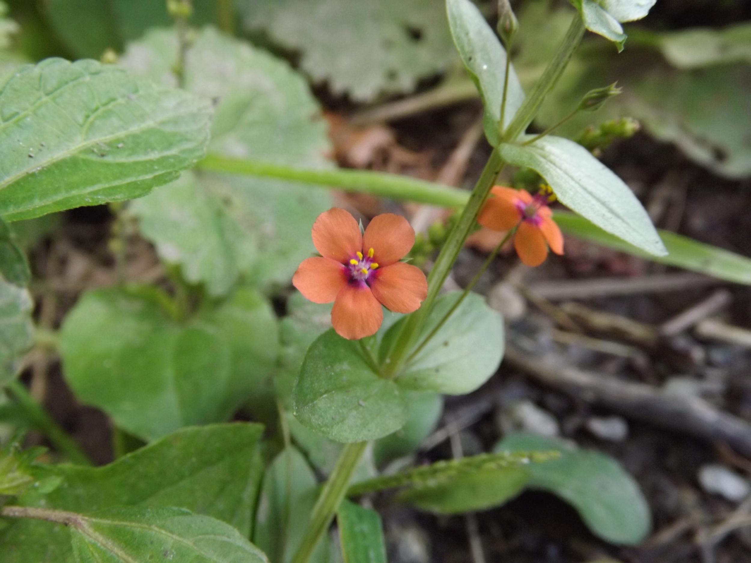 Scarlet Pimpernel ( Anagallis arvensis ) Non-Native