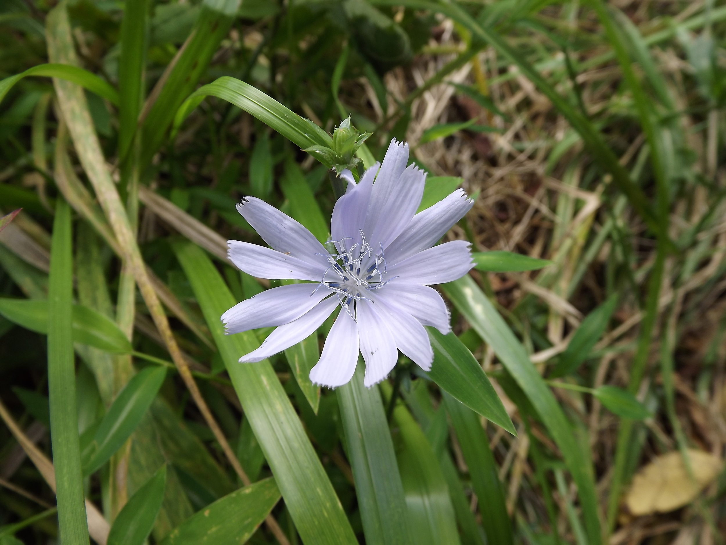 Common Chicory ( Cichorium intybus ) Non-Native