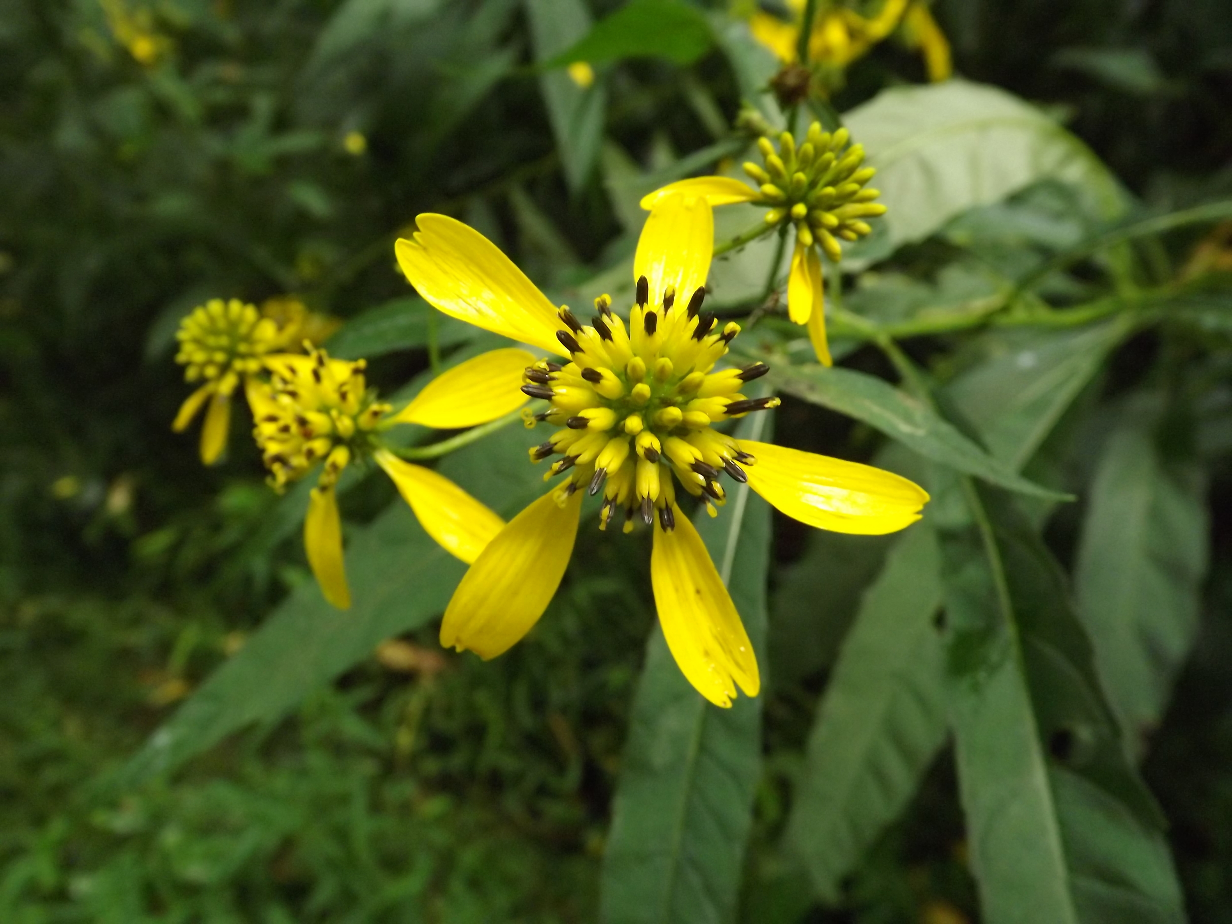 Yellow Ironweed  (Verbesina alternifolia ) - I'm still seeing a lot of Yellow Ironweed (Wingstem). Its flowers are starting to lose their petals though, so they probably won't be around for much longer.