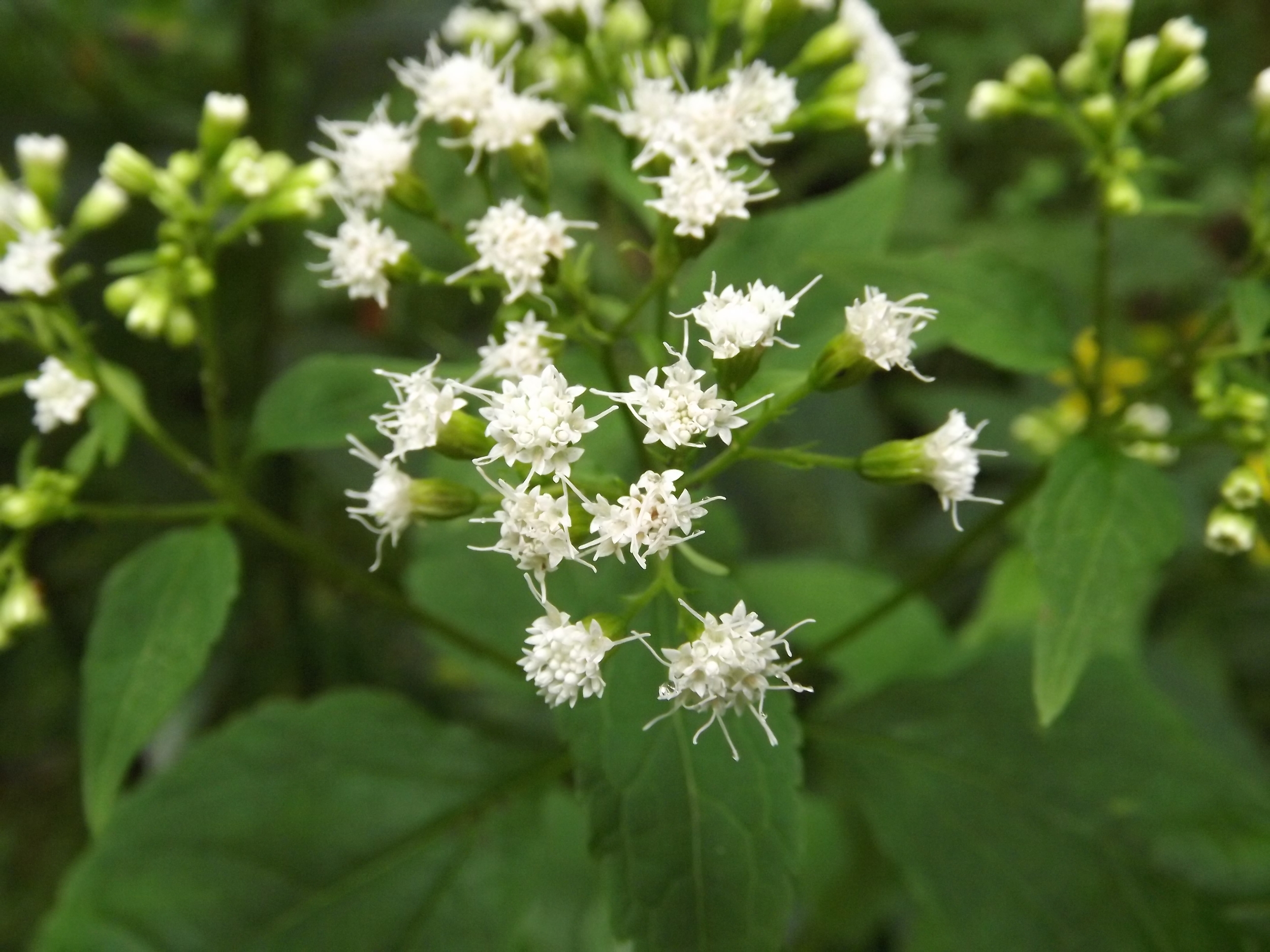 White Snakeroot ( Ageratina altissima ) - White Snakeroot got its name from its early use to treat snake bites. Strangely though, I also read that it is toxic, which seems odd given its use medicinally. Either way, its attractive white blossoms are actually clusters of tiny flowers in an arrangement that resembles Queen Anne's Lace.