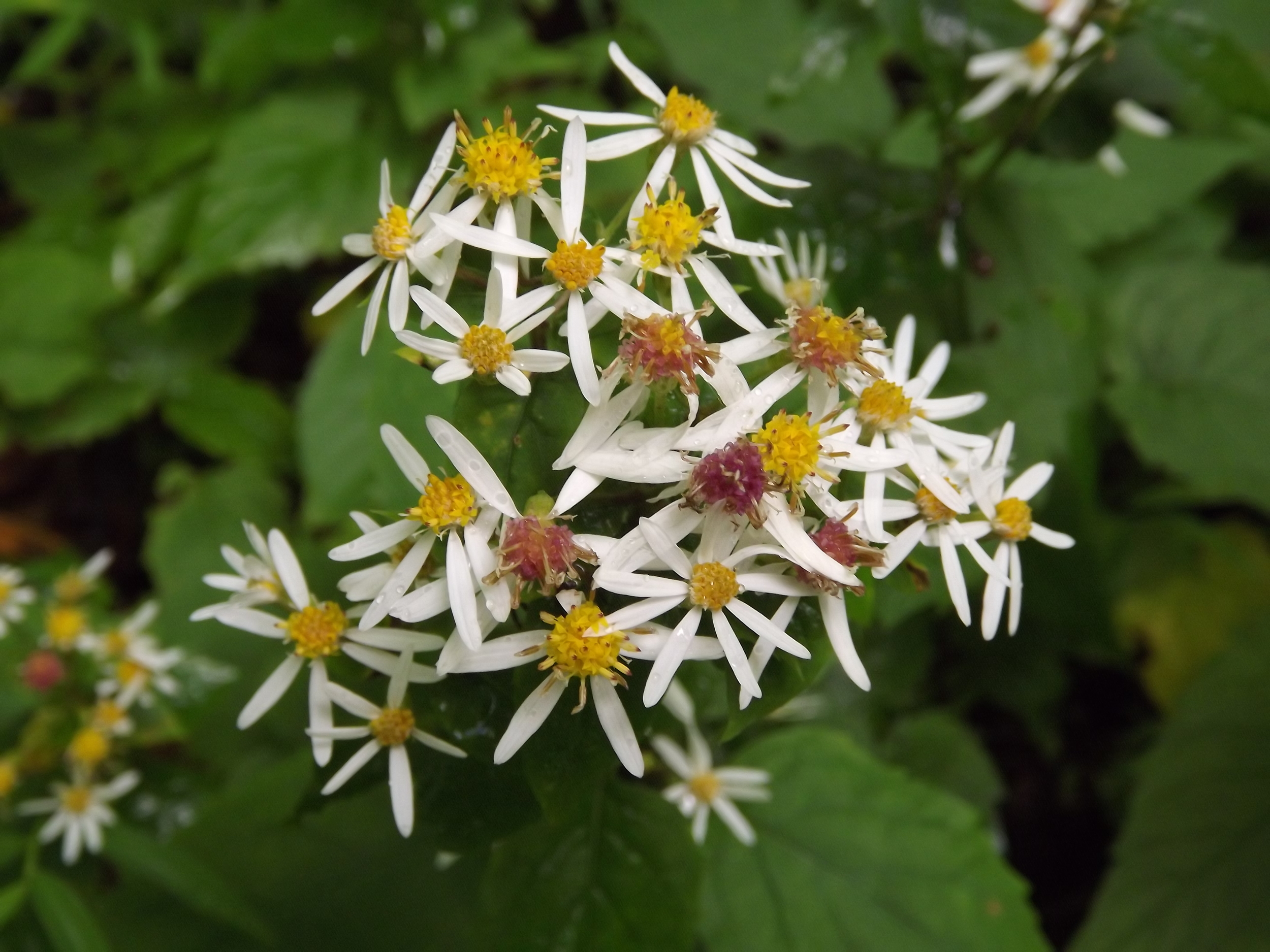 White Wood Aster ( Eurybia divaricata ) - White Wood Aster is a low plant normally around knee height or less.  Its blossoms can be white or lavender with yellow centers; they really are quite beautiful. Our area has a lot of Asters and most, if not all, bloom in the Fall.