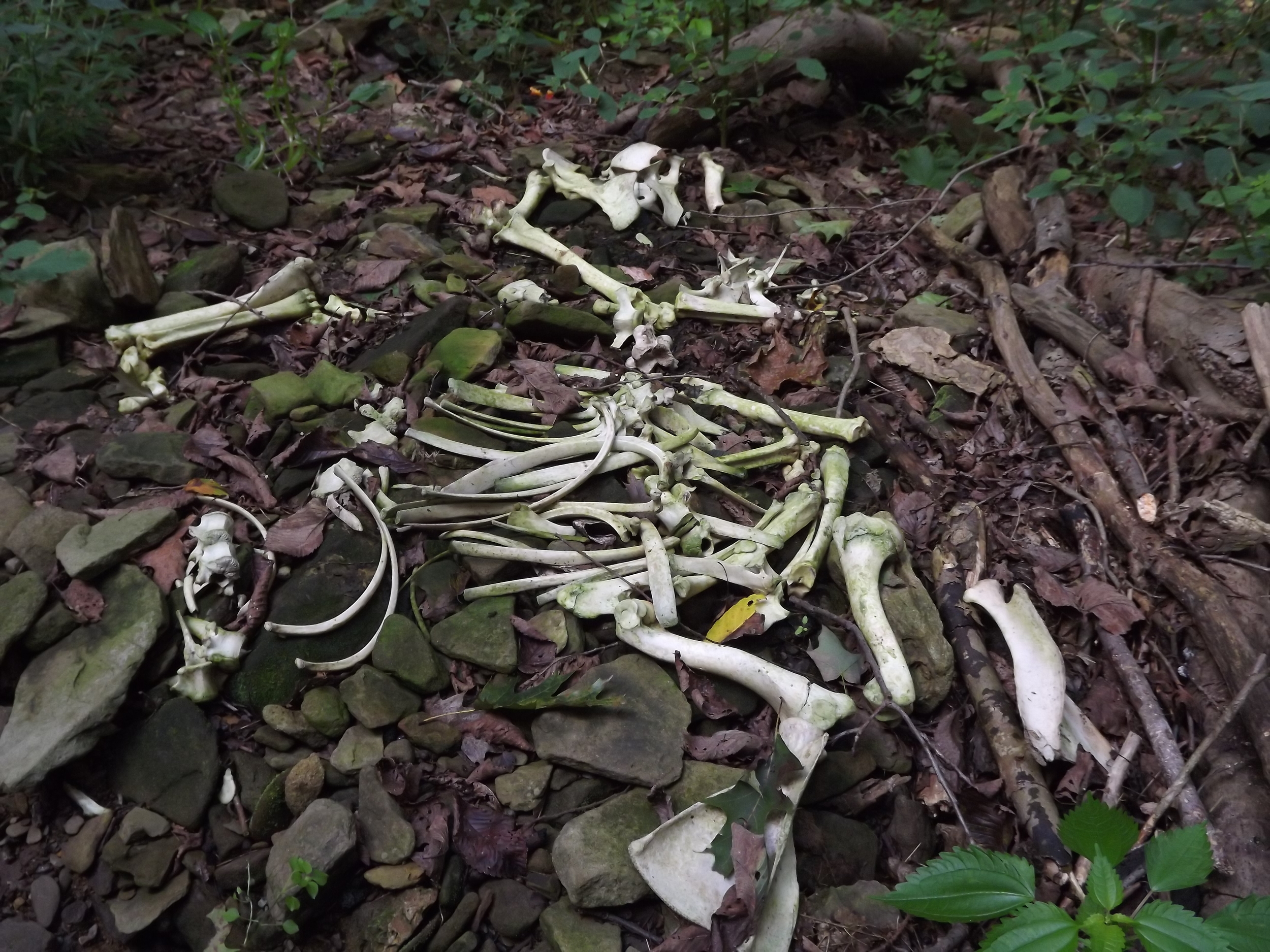 Bone Pile - We were walking up a small tributary off of Backbone road when we came to a large pile of deer bones. It seemed like the majority of the bones were from one deer, but then we found a couple of other skulls nearby and since we were just below the road, I'm guessing the borough must toss road kill deer over the hill there.