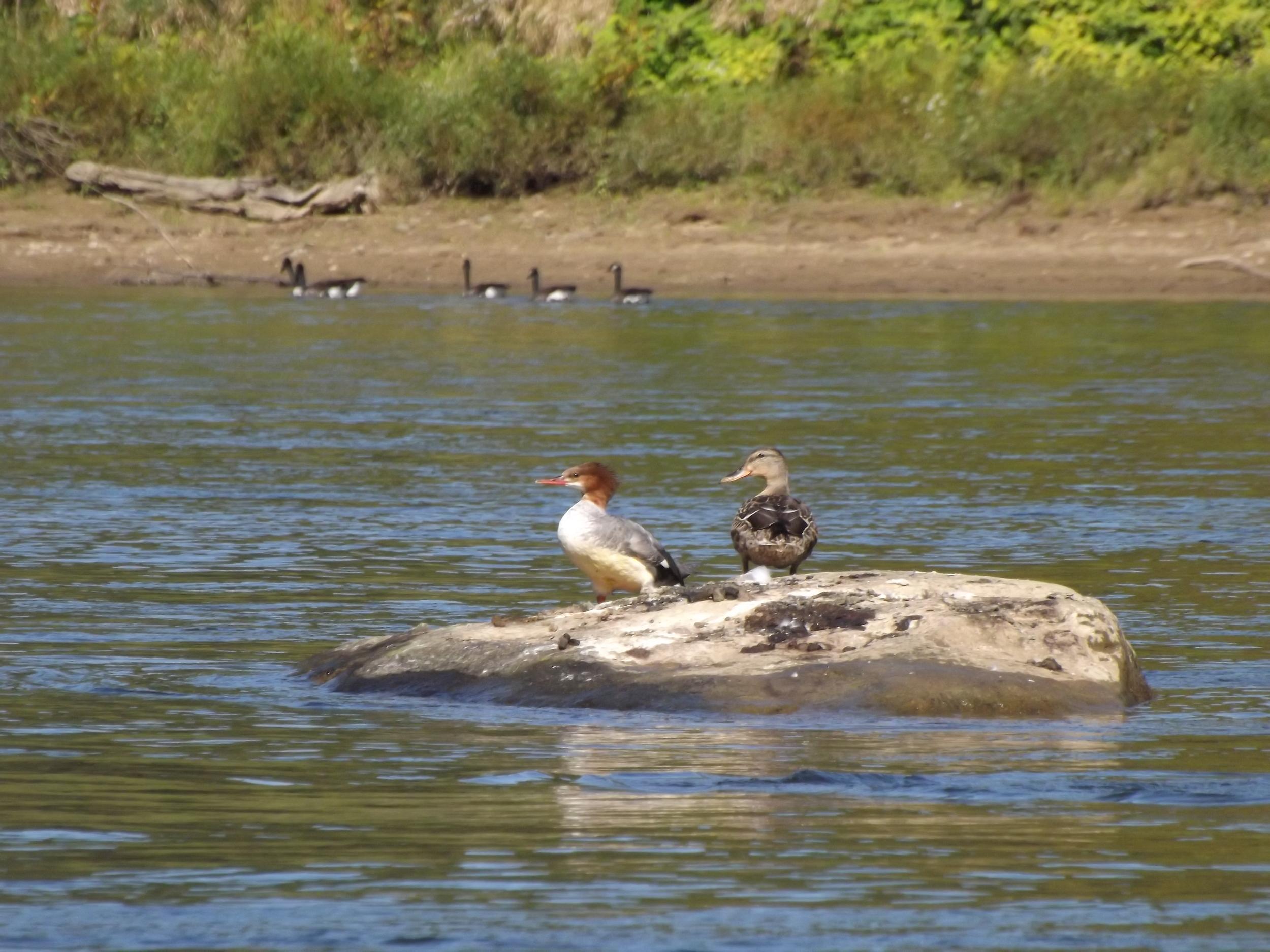 Common Merganser  ♀ ( Mergus merganser ) and Mallard Duck  ♀ ( Anas platyrhynchos )
