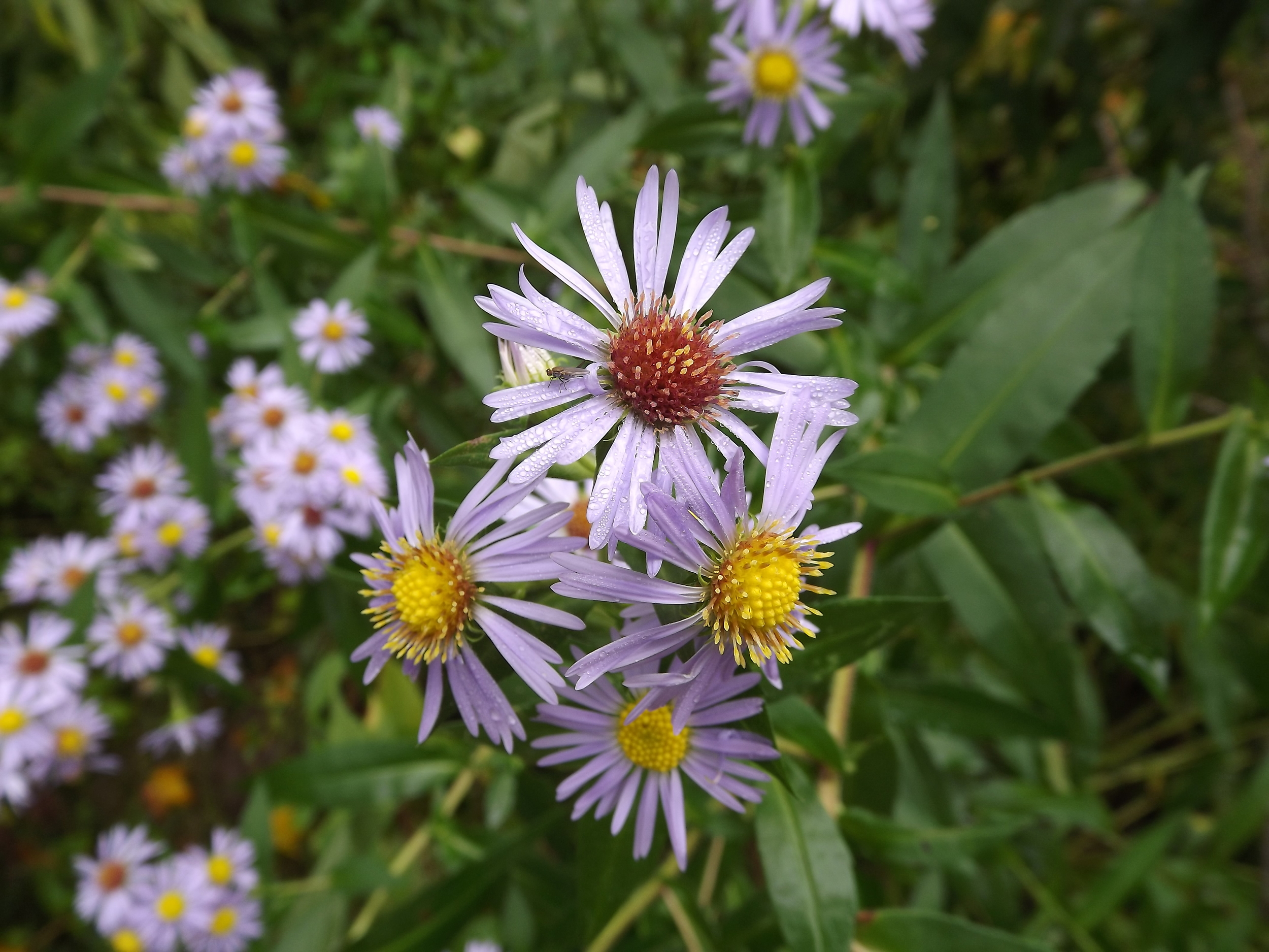 New England Aster ( Symphyotrichum novae-angliae ) - New England is definitely one of my favorite wildflowers, mostly because its purple blossoms are so beautiful, but also because I seem to see it everywhere.  This specimen is growing right along the stream and looked extremely healthy.