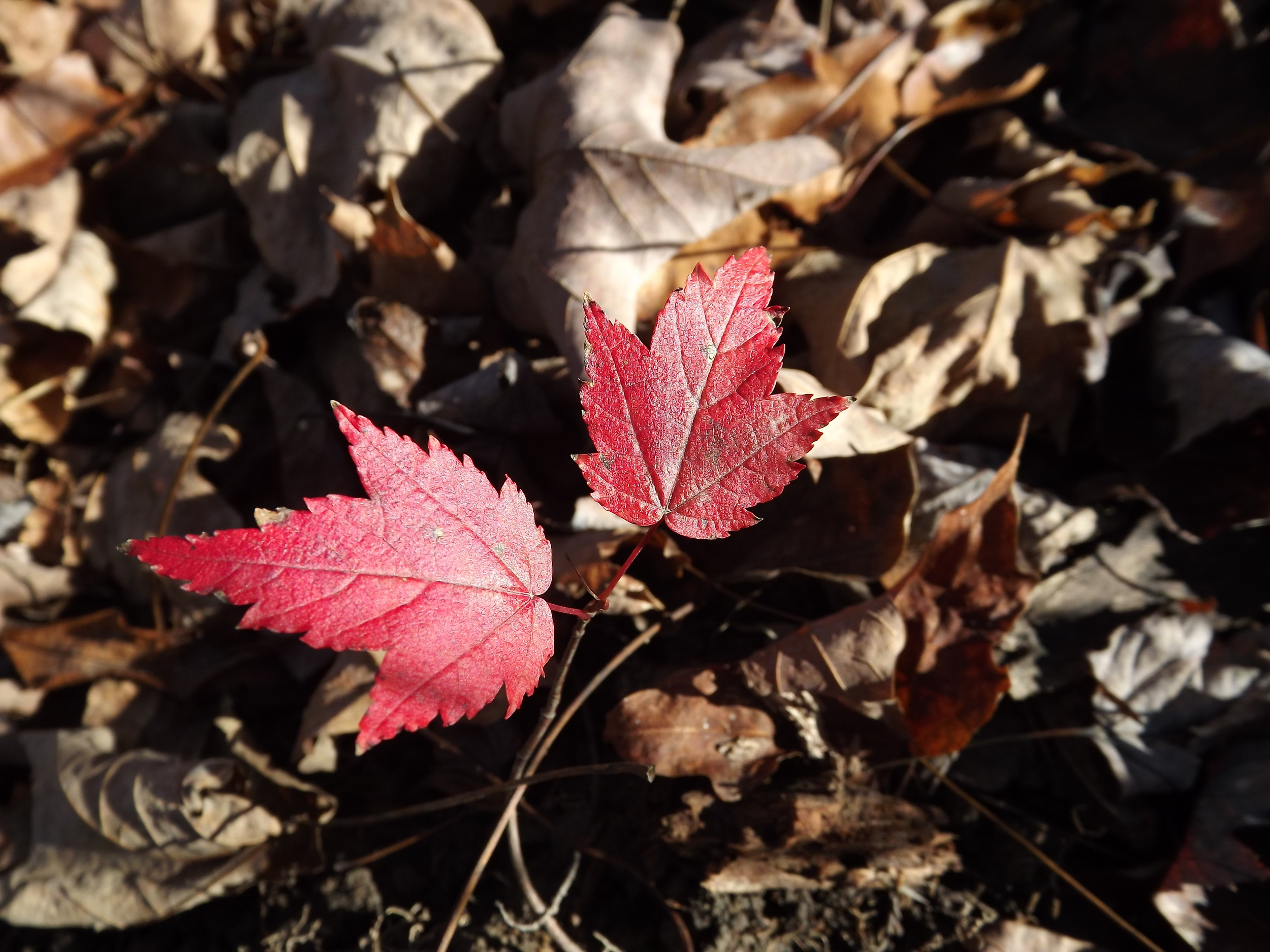 Red Maple ( Acer rubrum ) - Even though this Maple was incredibly small, its red leaves really stood out against the brown of the forest floor and I spotted it from a good distance away. Given it size, I would suspect it's one of this year's seedlings, so it's got a tough road ahead if it's going to survive in the established old growth forest where I found it.