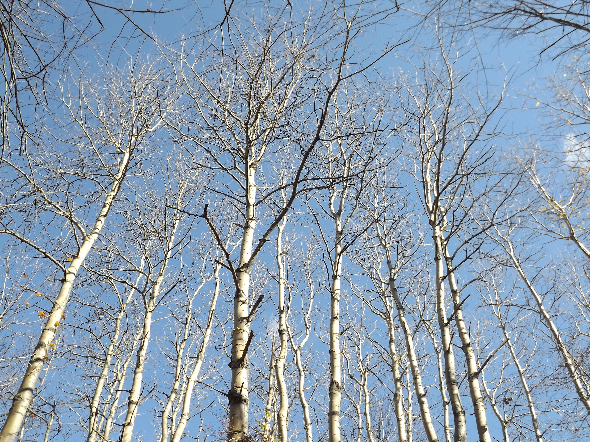 Quaking Aspen ( Populus tremuloides ) - I photographed this same stand of Aspen trees a few weeks ago when they still had leaves, but now the leaves have fallen leaving just the bare bark of their trunks standing out against the backdrop of the bright blue sky.