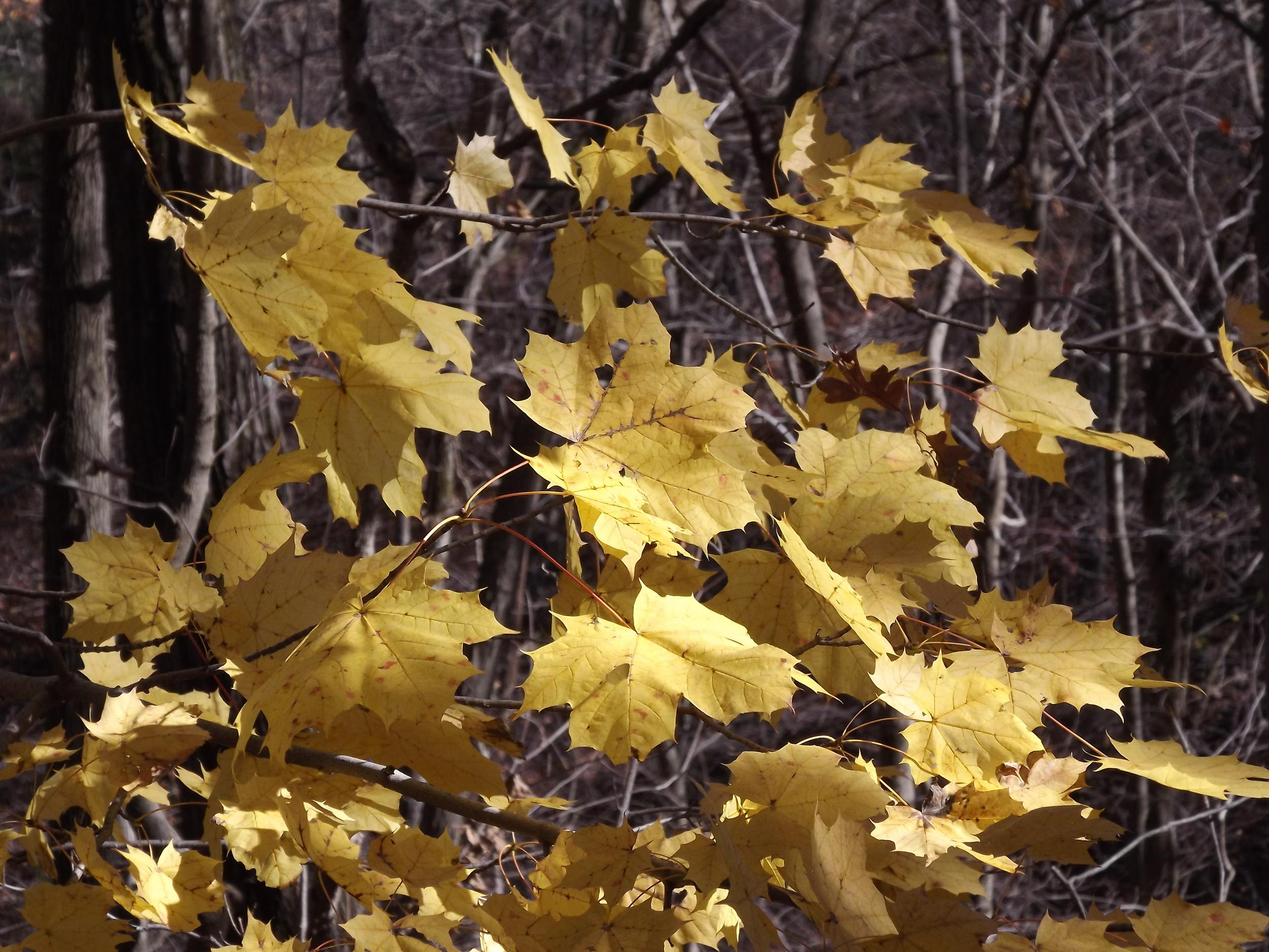 Red Maple leaves ( Acer rubrum )