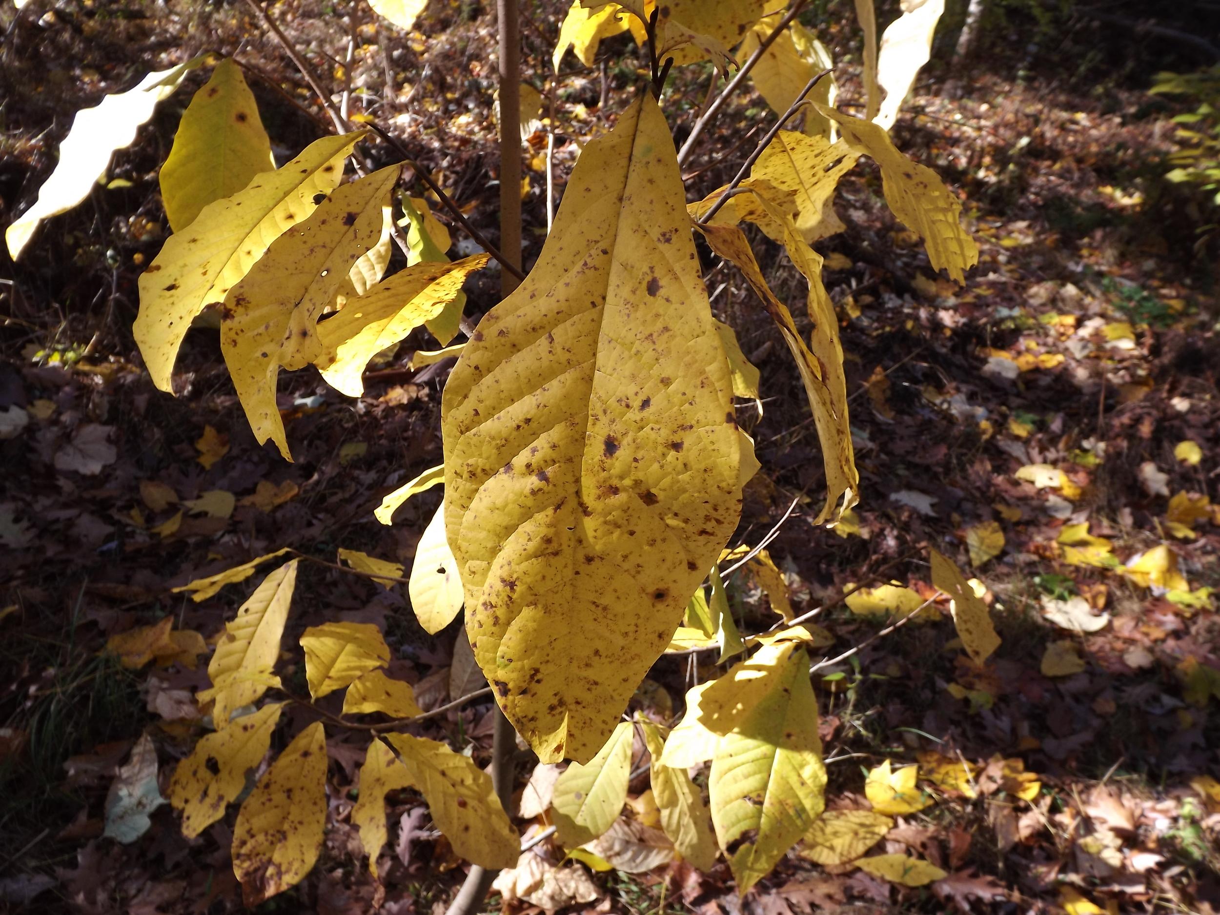 Large leaf (Species unknown)