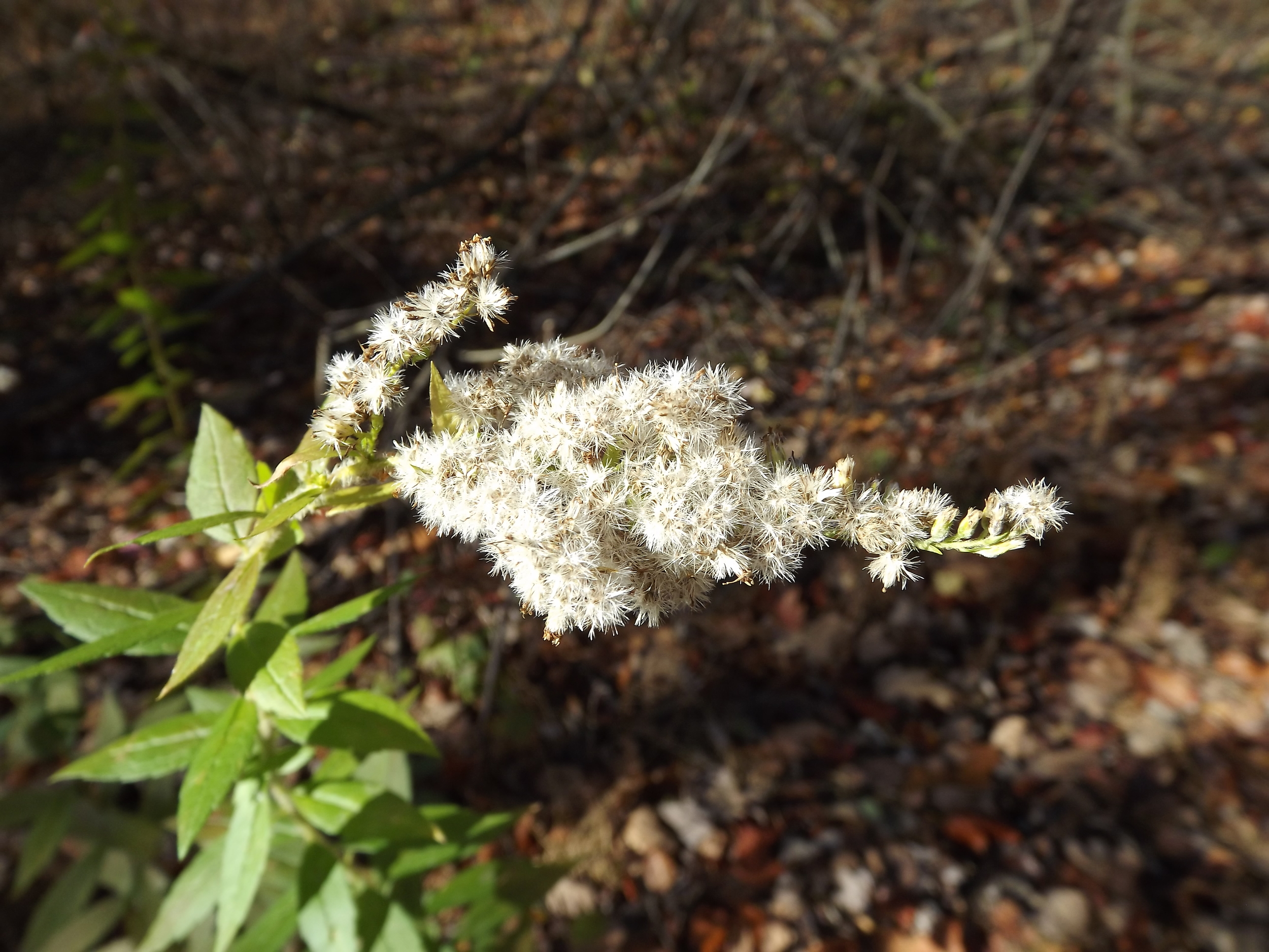 Unknown white flower (possibly Zig Zag Goldenrod with dried, bleached flowers)