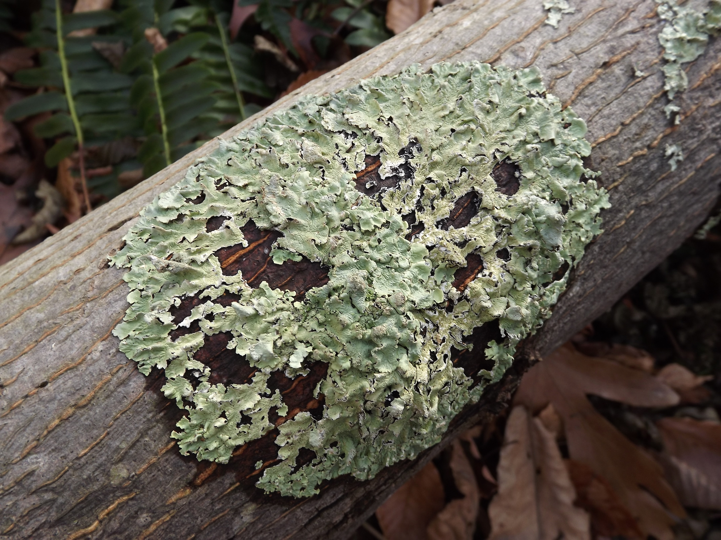 Common Greenshield Lichen ( Flavoparmelia caperata ) -  I first identified Common Greenshield Lichen a few years ago and ever since then I've been amazed by how much of it I see around the area.  I've found it on dead trees, rocks, and even living trees.