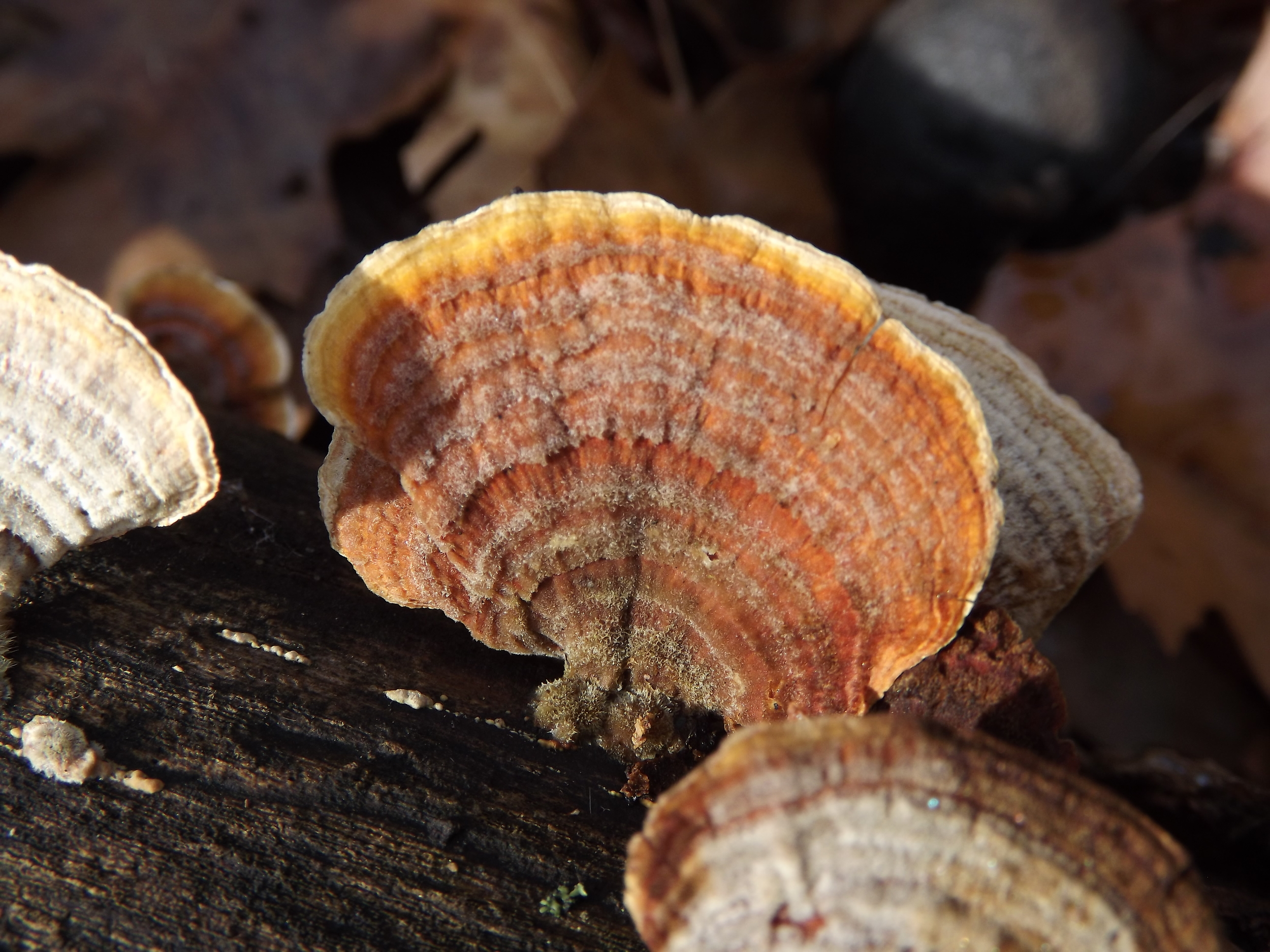 False Turkeytail ( Stereum ostrea )
