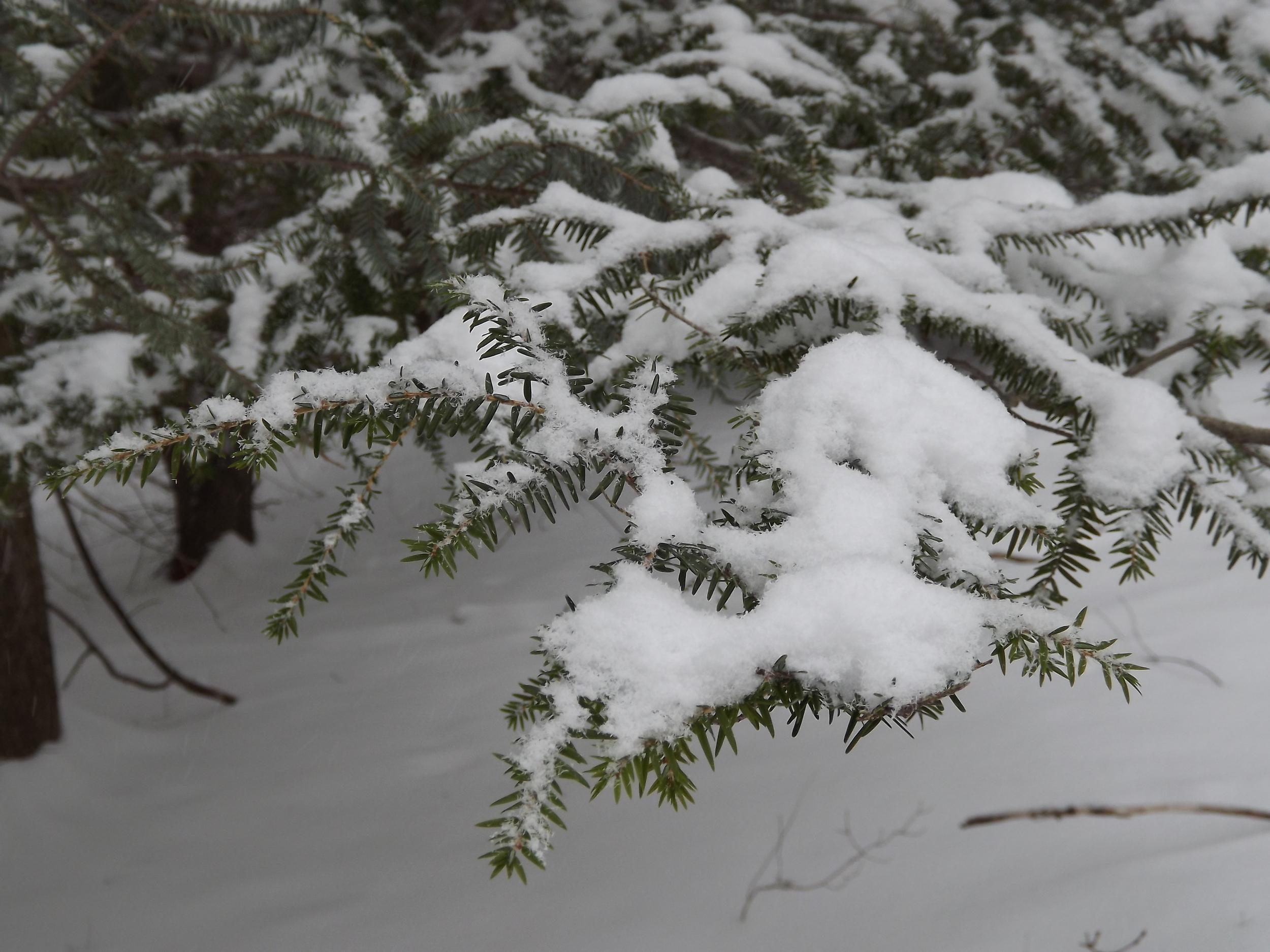 Newly fallen snow on Hemlock branches.