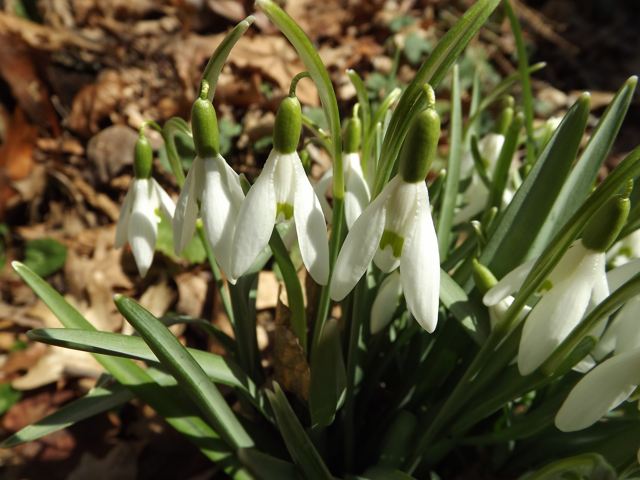 Snowdrops ( Galanthus nivalis ) Snowdrops are aptly named since they are one of the very first wildflowers to appear after the snow finally melts plus their brilliant white blossoms are reminiscent of freshly fallen snow.