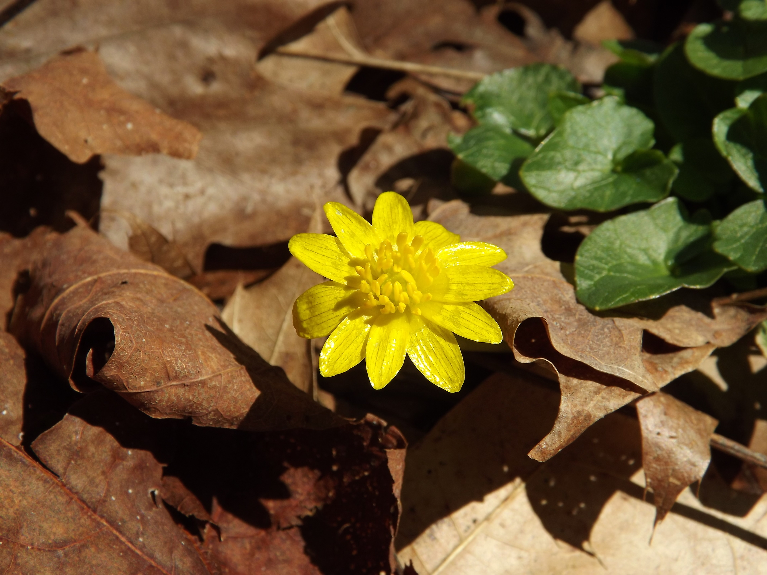 Fig Leaf Buttercup ( Ficaria verna )