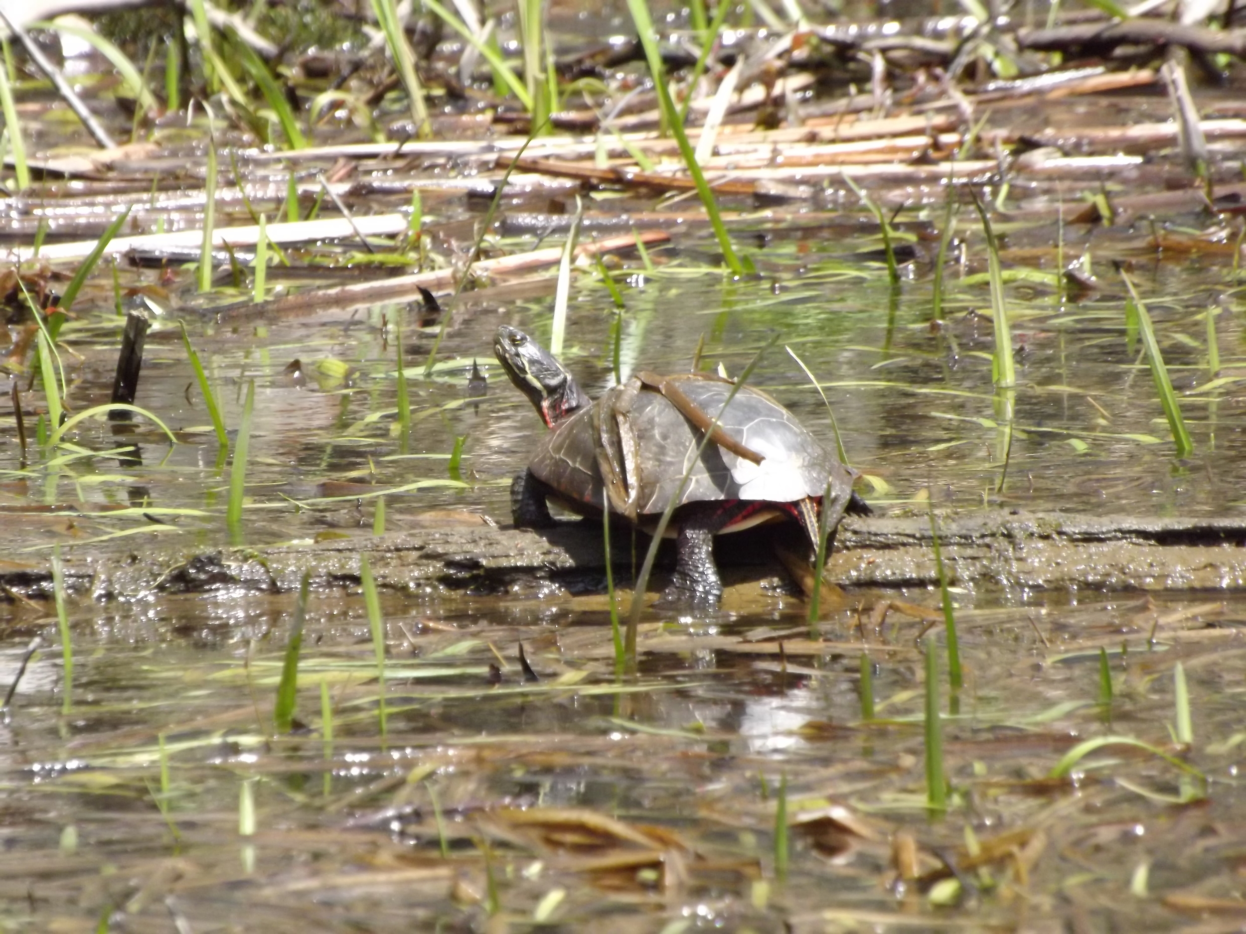 Painted Turtle ( Chrysemys picta ) - Painted Turtles are my favorite subjects to photograph while paddling at Moraine. On sunny days, they line the logs along the shallow bays and coves and we can get quite close before they dive to the safety of the water.