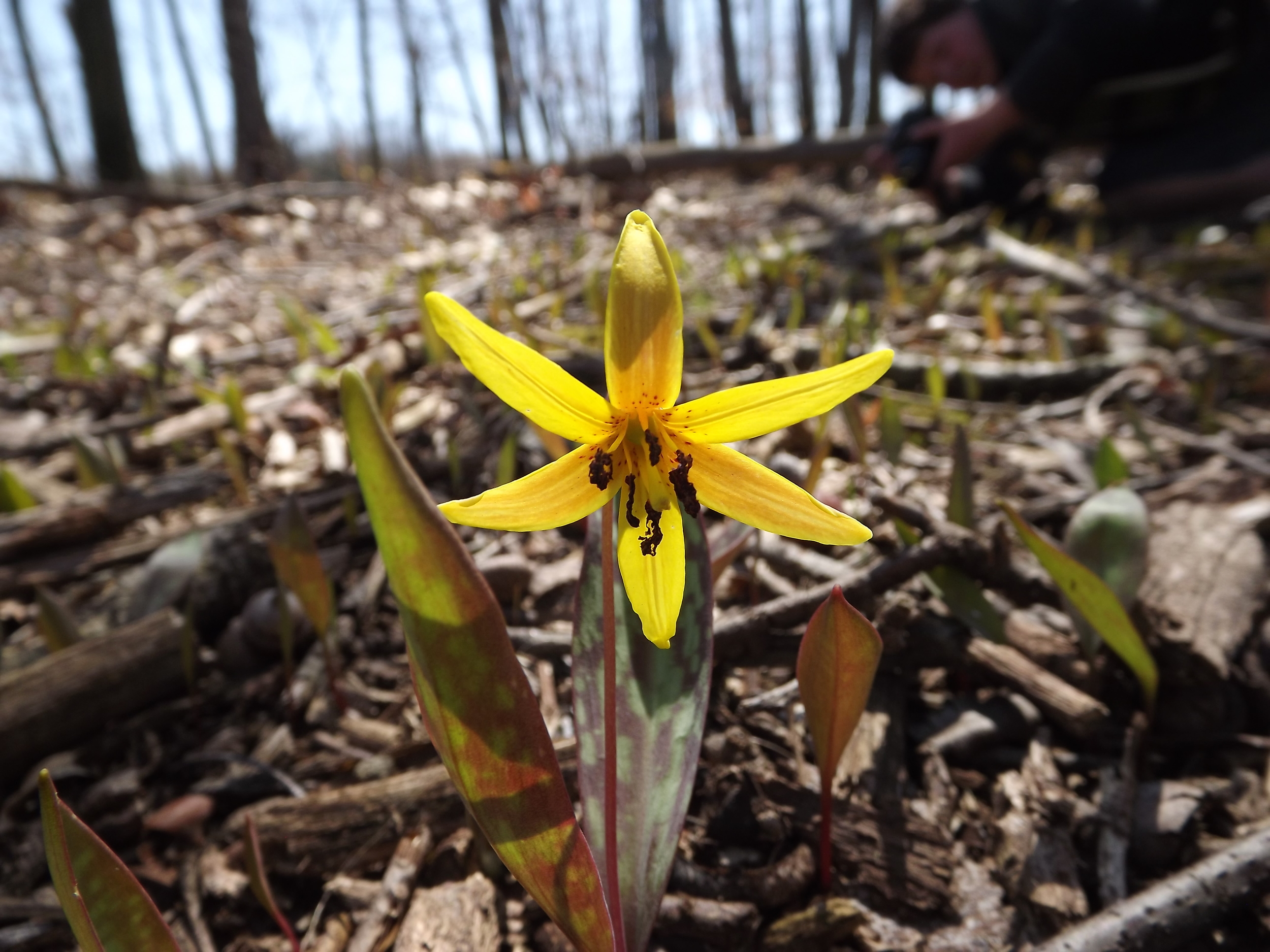 Trout Lily ( Erythronium americanum ) - We found this Trout Lily on the island across from our cabin. The sun was positioned perfectly to backlight the flower petals making for a perfect photograph. Trout Lilys don't last long, but when they're in their prime, they are absolutely beautiful.