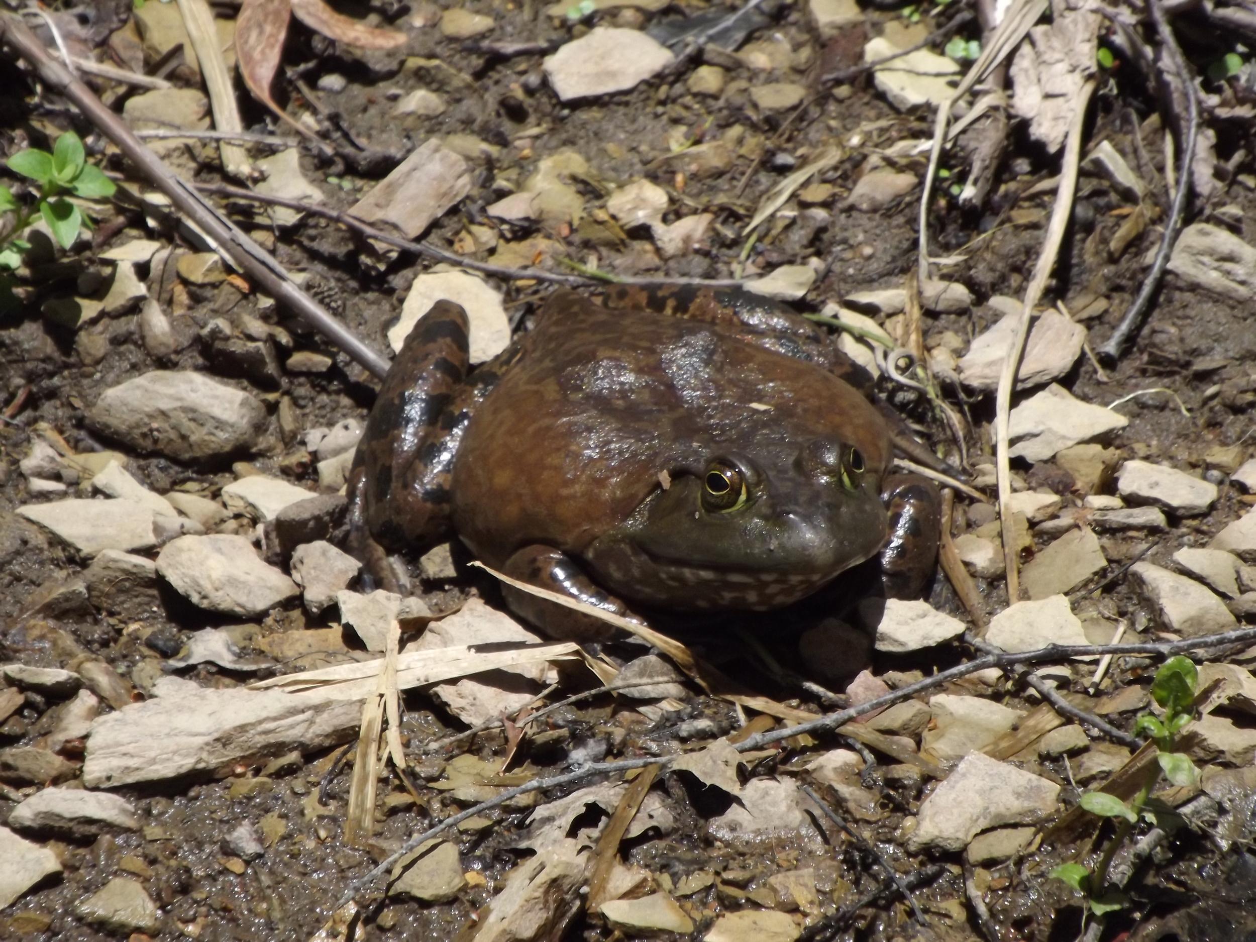 American Bullfrog ( Rana catesbeiana )