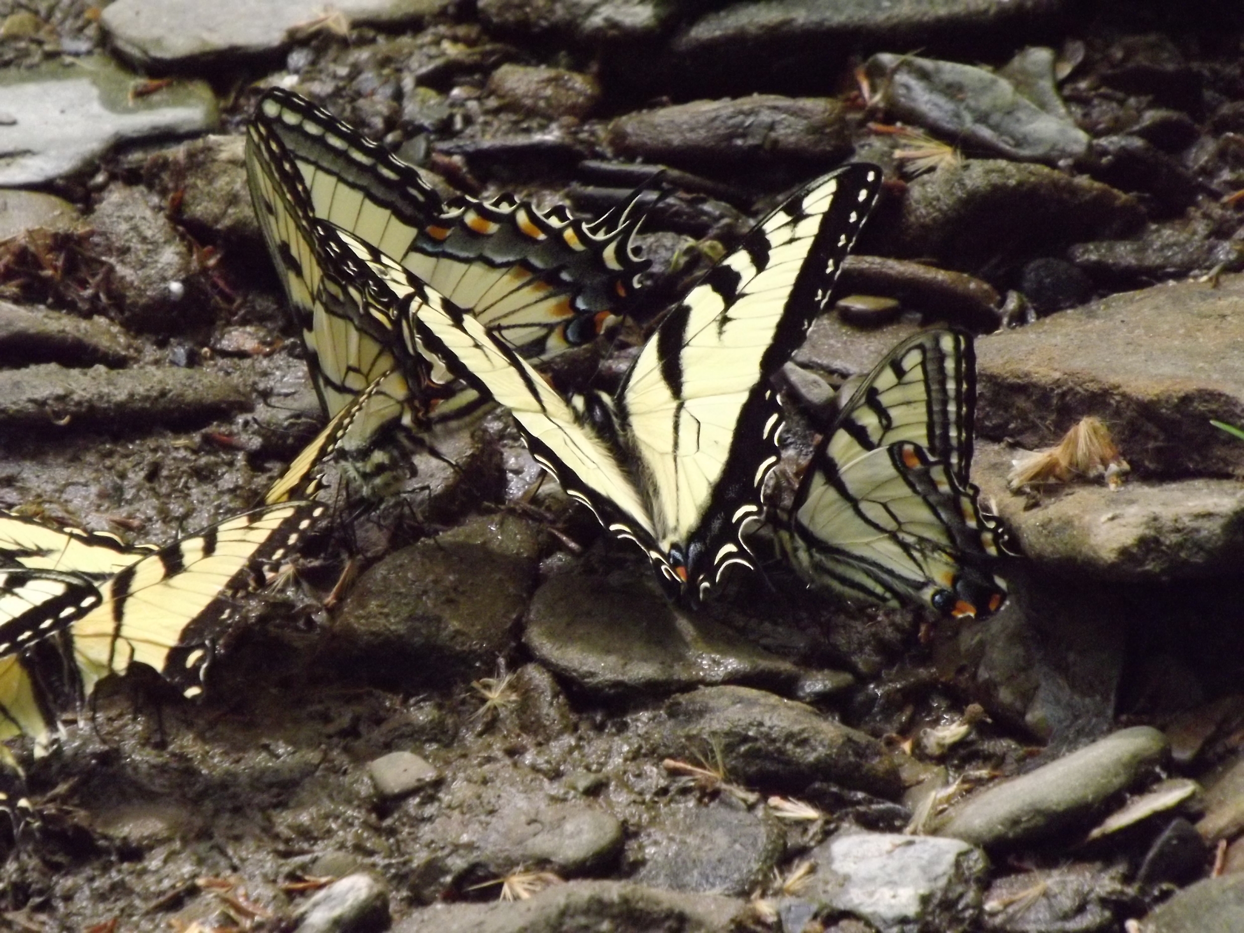 Eastern Tiger Swallowtail Butterfly ( Papilio glaucus )