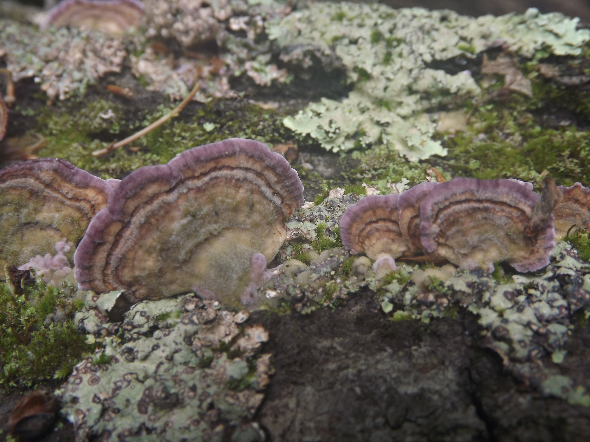 Violet Toothed Polypore ( Trichaptum biforme ) -  Violet Toothed Polypores are very beautiful when they are in their prime.  The purplish fringes on the fungi make are very deeply hued and quite striking even in low light conditions.