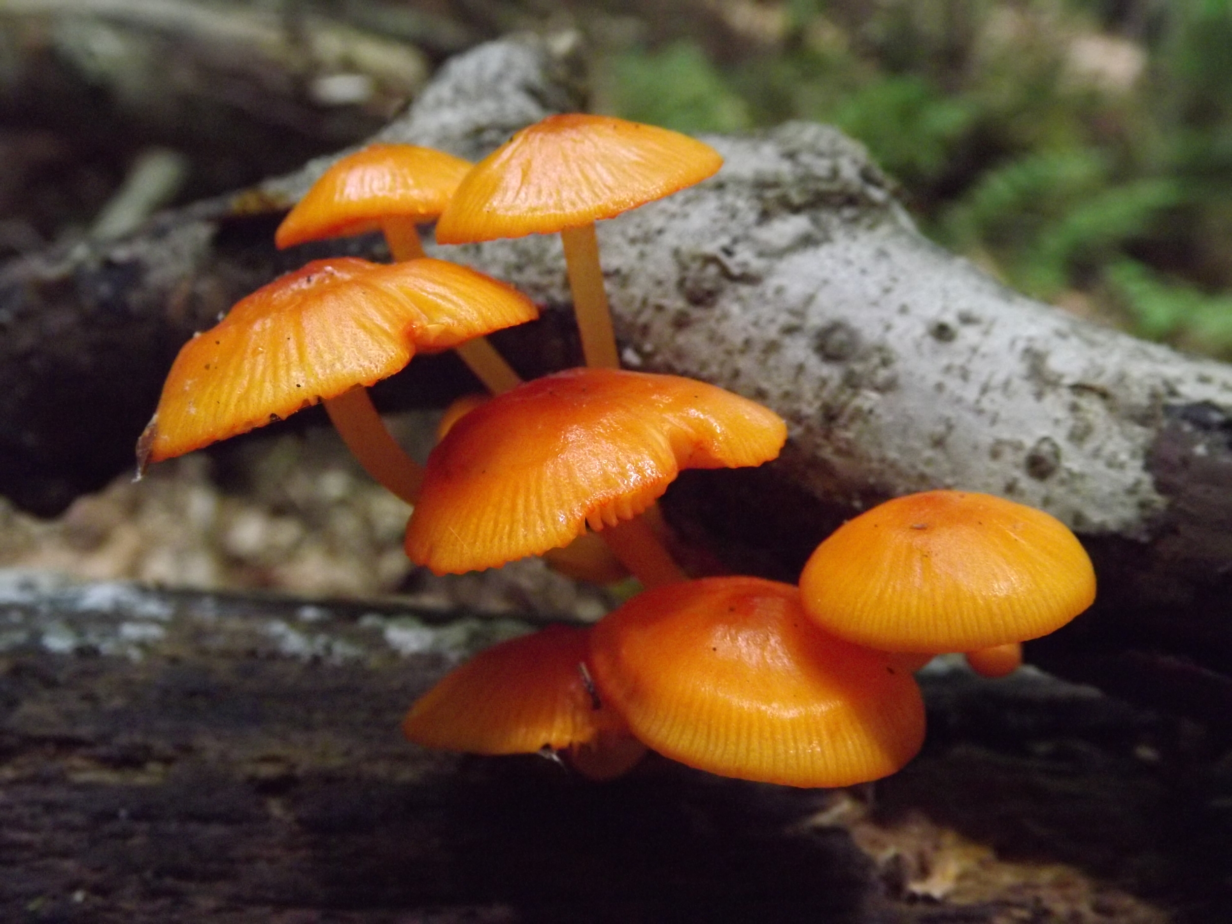 Orange Mycena ( Mycena leaiana ) -  Orany Mycena are really quite striking and their orange color almost glows it is so bright.  Orange Mycena typically grows in clumps like this and normally does not get more than a few inches high.