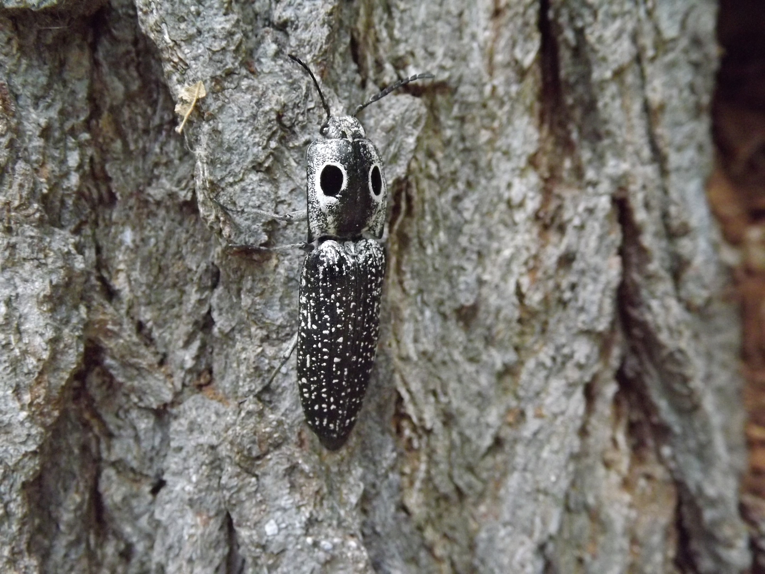 "Eastern Eye Click Beetle ( Alaus oculatus ) -  This is the first I've photographed the Easter Eye Click Beetle.  Identifying it was pretty easy, with the help of Google of course, and its over sized ""eyes"" on its back are a evolutionary response to ward off predators."