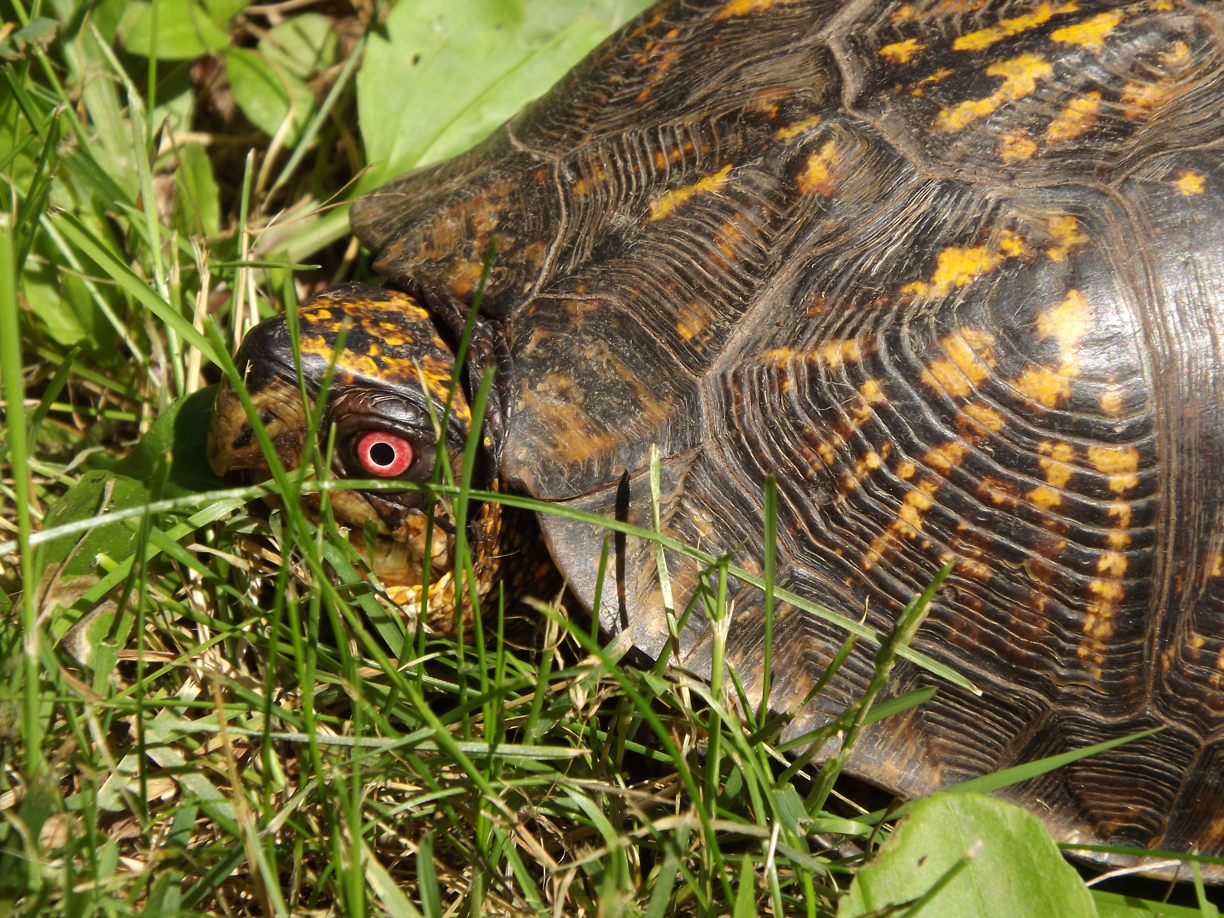 Eastern Box Turtle ( Terrapene carolina ) - I found this Easter Box Turtle in my mother's backyard. He had hunkered down underneath a large Norway Spruce tree and I couldn't get a very good photo, so I brought him out into the sunny grass for a few shots. Of course when I was done, I put him back where I found him.