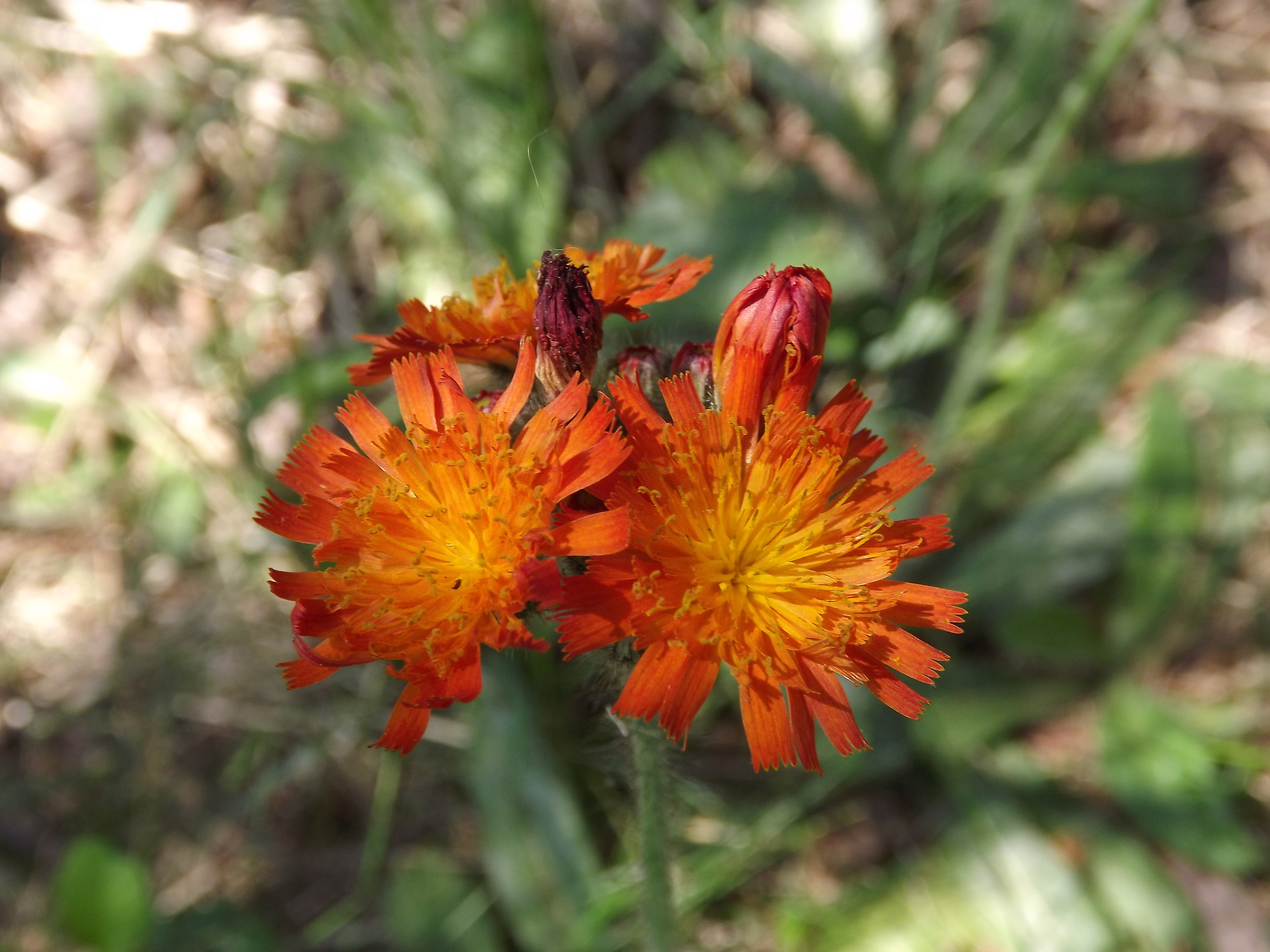 """Orange Hawkweed ( Hieracium aurantiacum ) - Orange Hawkweed is considered a weed in landscaping circles but I think it is a beautiful flower full of brilliant oranges, reds, and yellows. It is also known as the """"Devil's Paintbrush."""""""