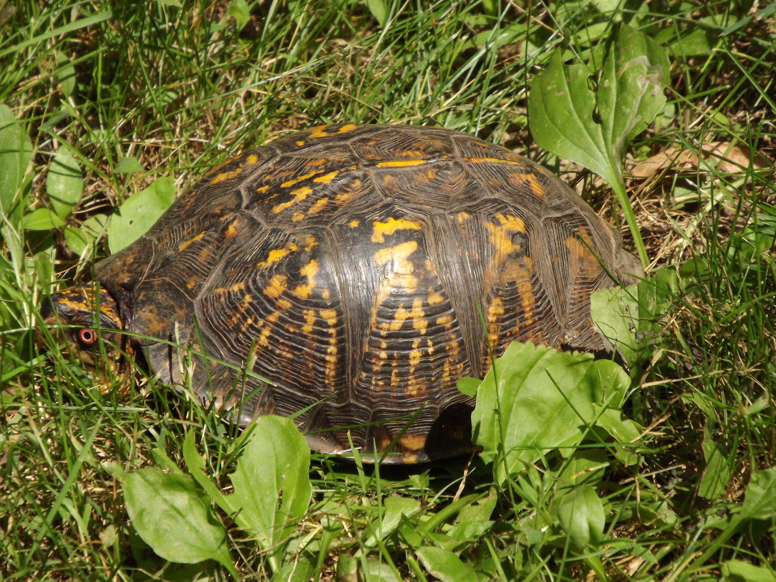 Eastern Box Turtle  (Terrapene carolina )