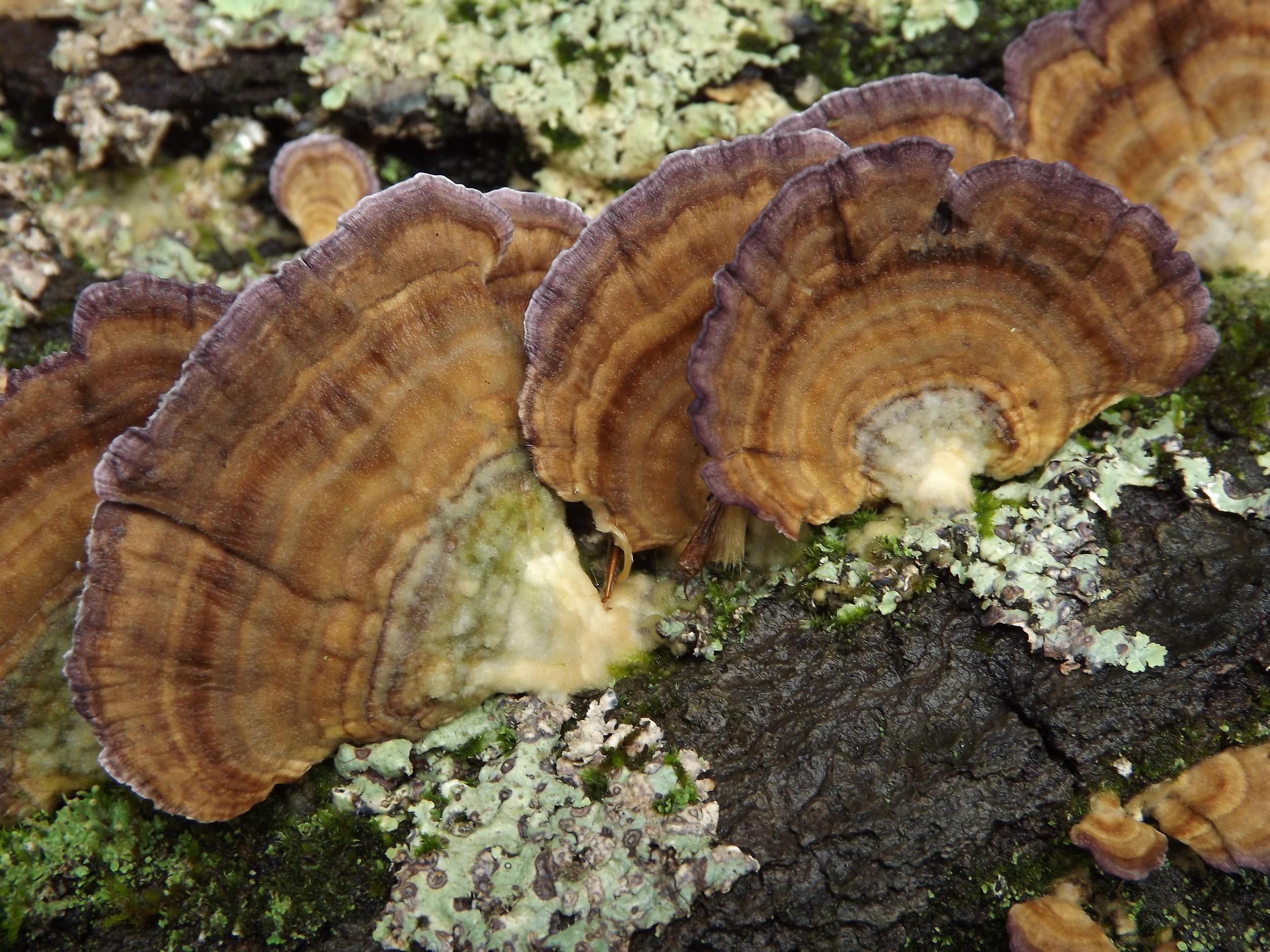 Violet Toothed Polypore ( Trichaptum biforme )
