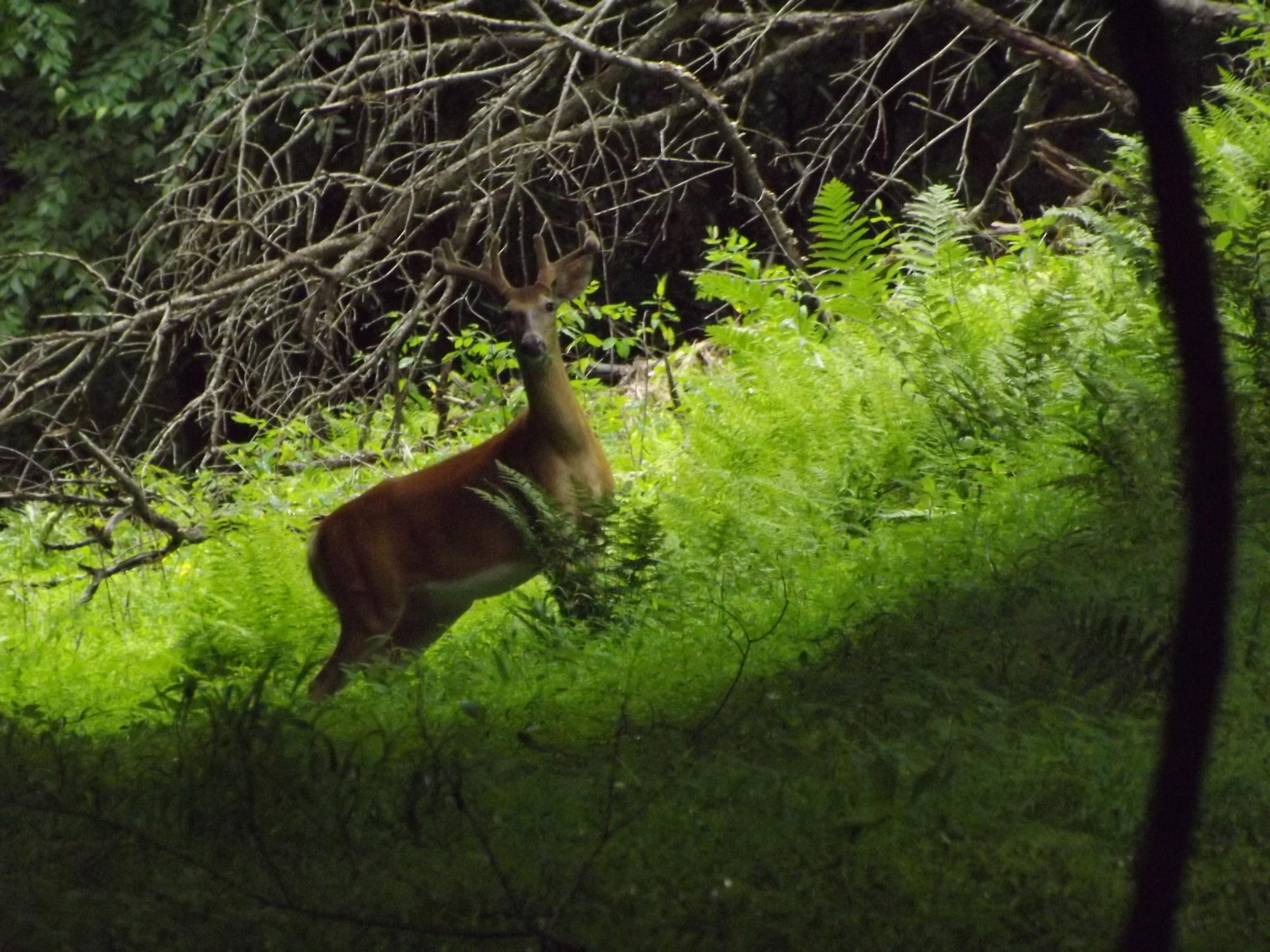 White Tailed Deer ( Odocoileus virginianus )
