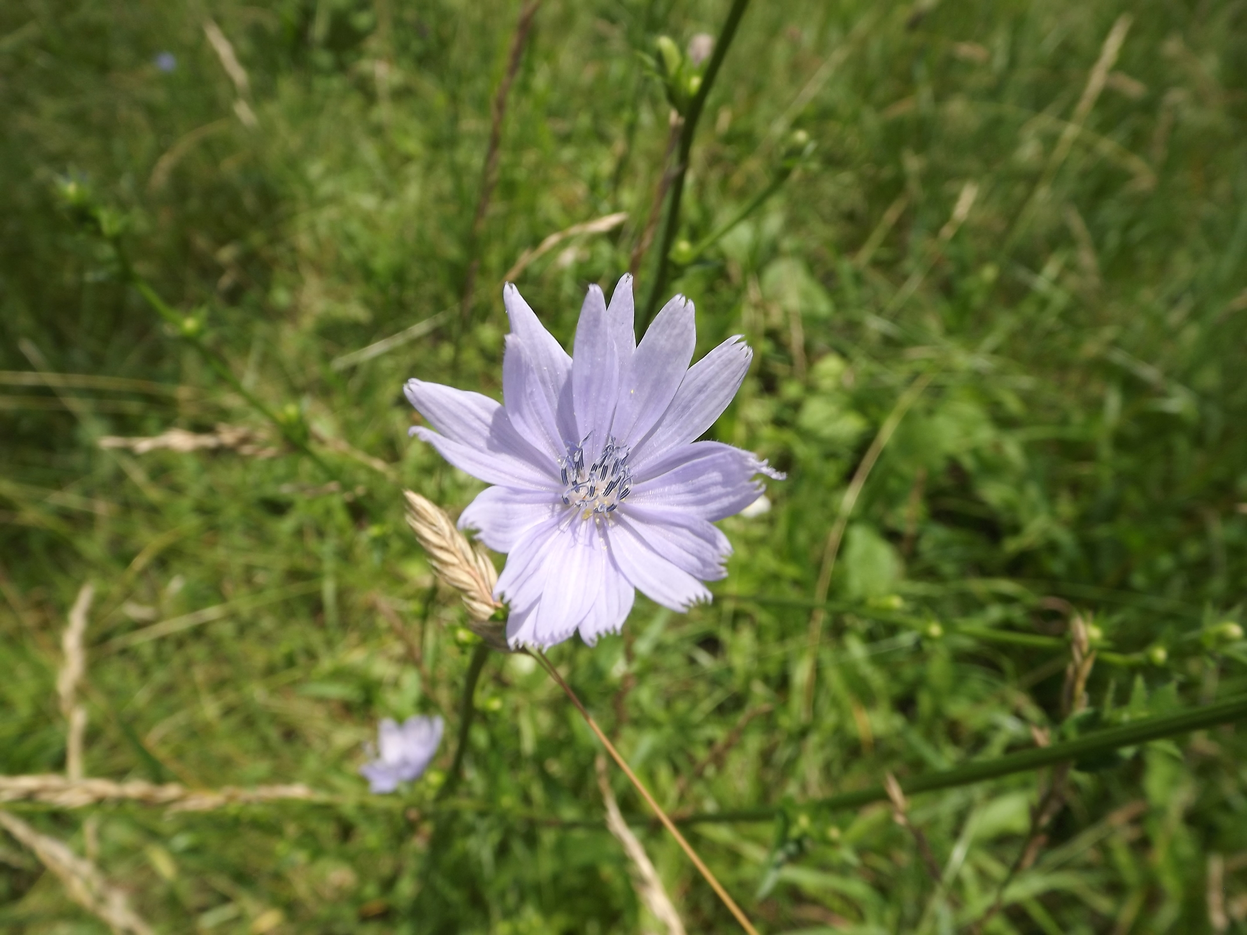 Common Chicory ( Cichorium intybus ) - Common Chicory is not native to our area and is considered by some as an invasive. Howerver I think its bluish-white blossoms are very pretty and late on sunny days, they will actually close to protect the delicate petals from the sun's heat.