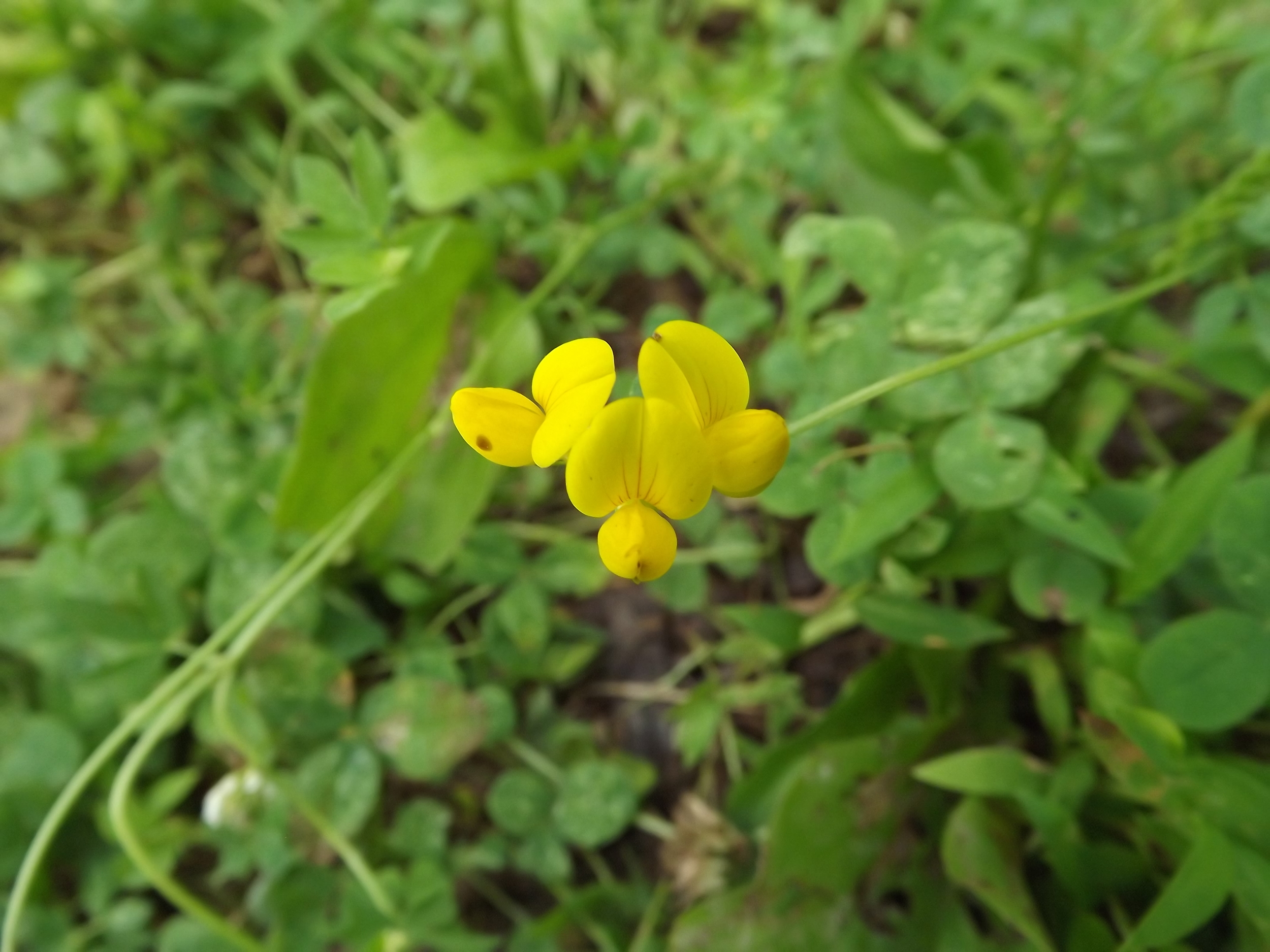 Birds Foot Trefoil ( Lotus corniculatus ) -  Birds Foot Trefoil is not native to our area but its tiny yellow blossoms are pretty interesting looking.  They are also part of the Girl Scout's logo.