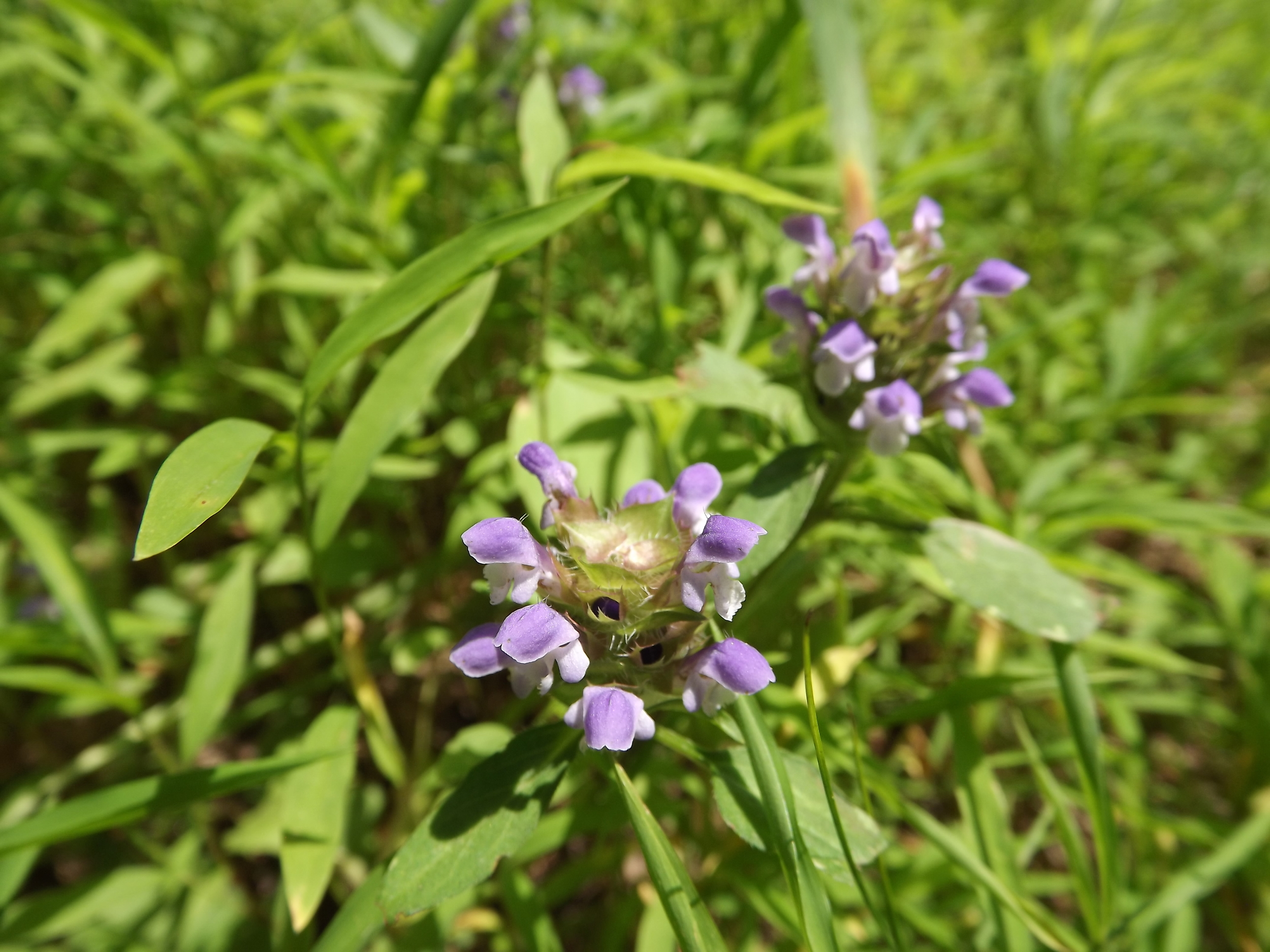 "Heal All ( Prunella vulgaris ) -  Heal All is an intersting wildflower.  It is very prevalent throughout our area and is known for its medicinal qualities, hence the name.  There are some commercial growers that sell the dried flower ""buds"" for making tea, but the I didn't think it tasted very good the couple of times I made the tea.  However, its medicinal qualities have been known for thousands of years and it was heavily used by early cultures."