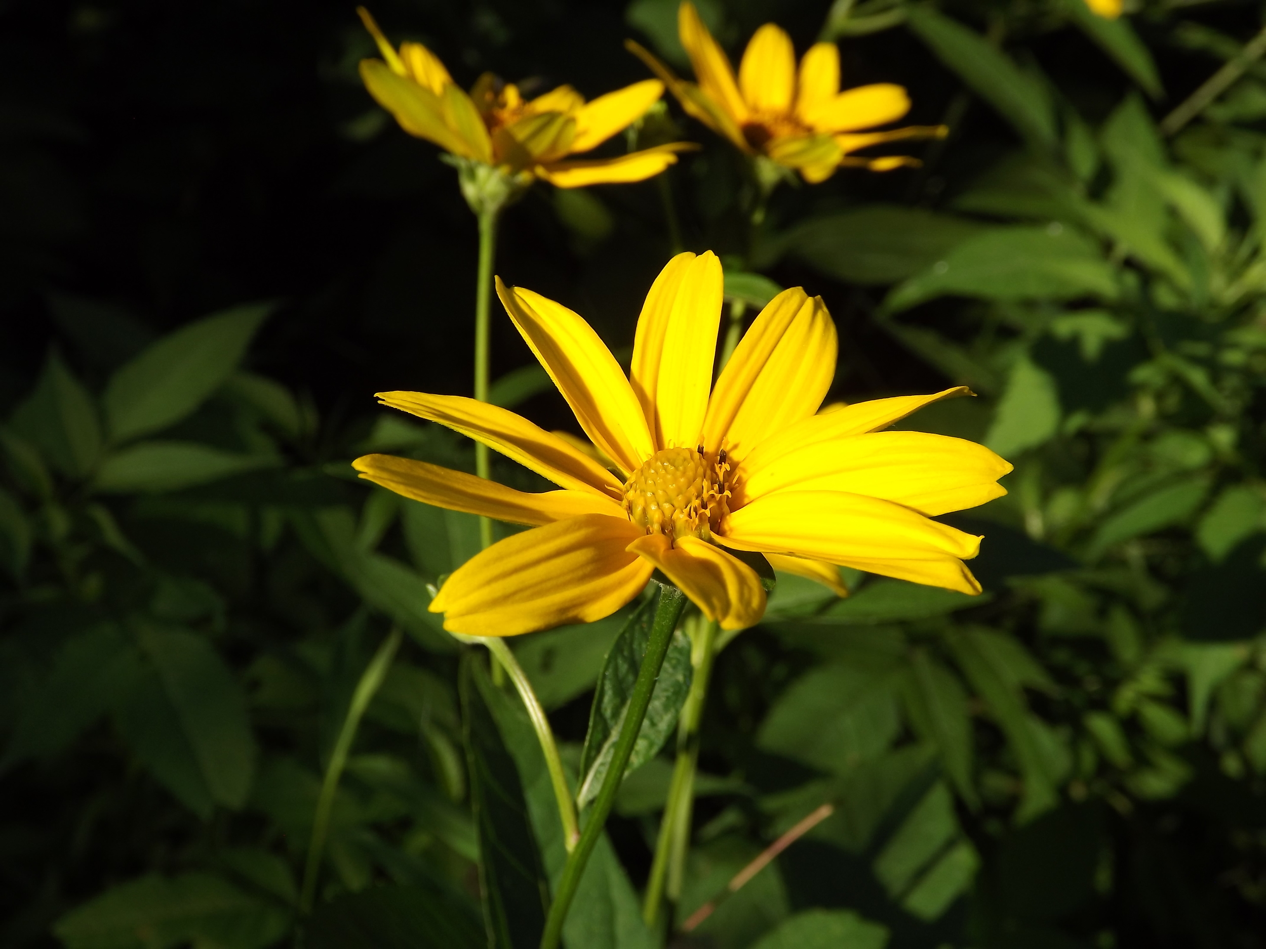 Thin-Leaved Sunflower ( Helianthus decapetalus )