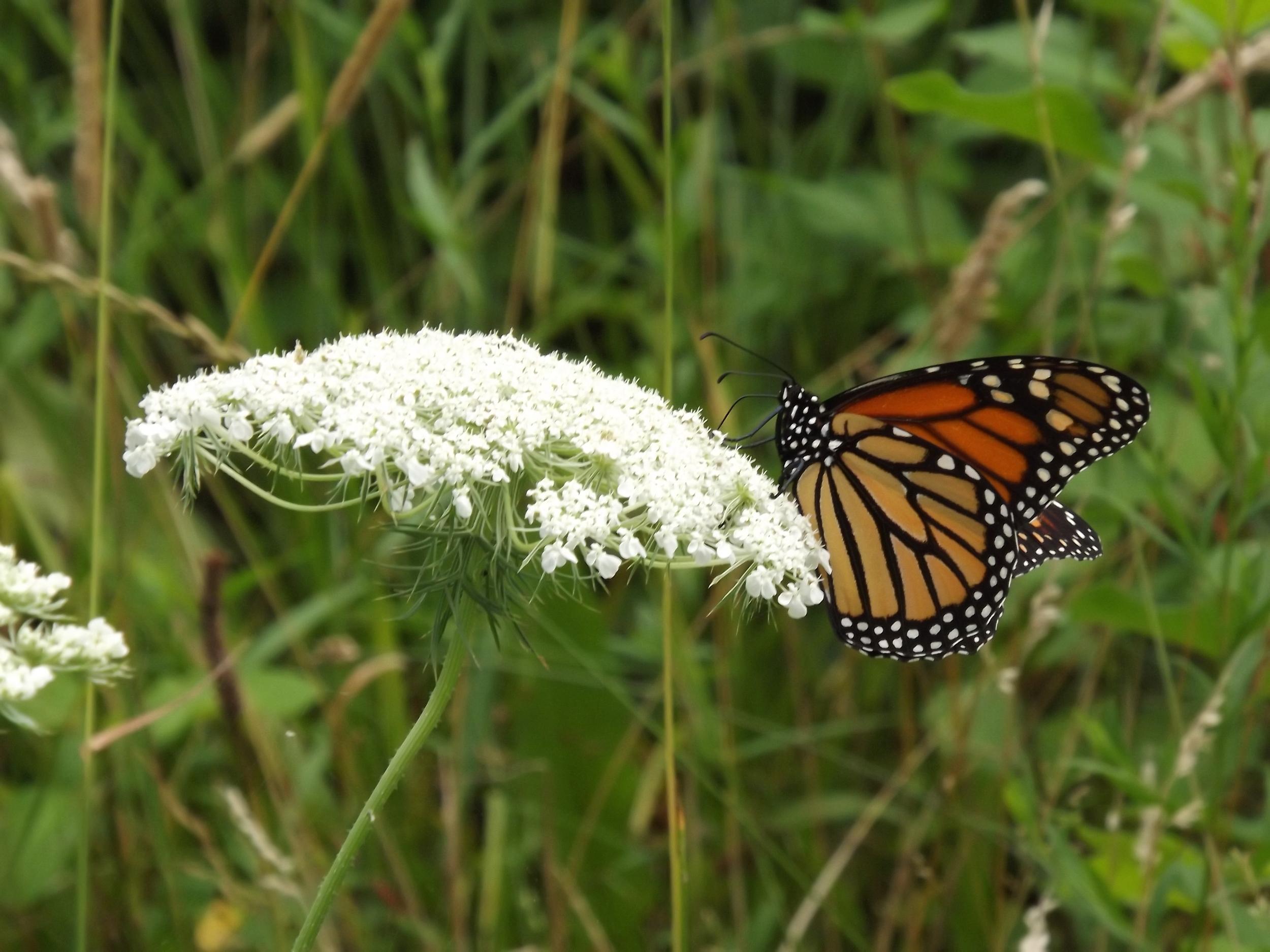 Monarch Butterfly ( Danaus plexippus ) on Queen Anne's Lace ( Daucus carota ) - I was happy to get this great photograph of a female Monarch butterfly feeding on a Queen Anne's Lace flower cluster. Butterflies are hard to photograph since they are constantly moving so I was pleased with this shot. Also, I recently read that Queen Anne's Lace is also known as Wild Carrot.