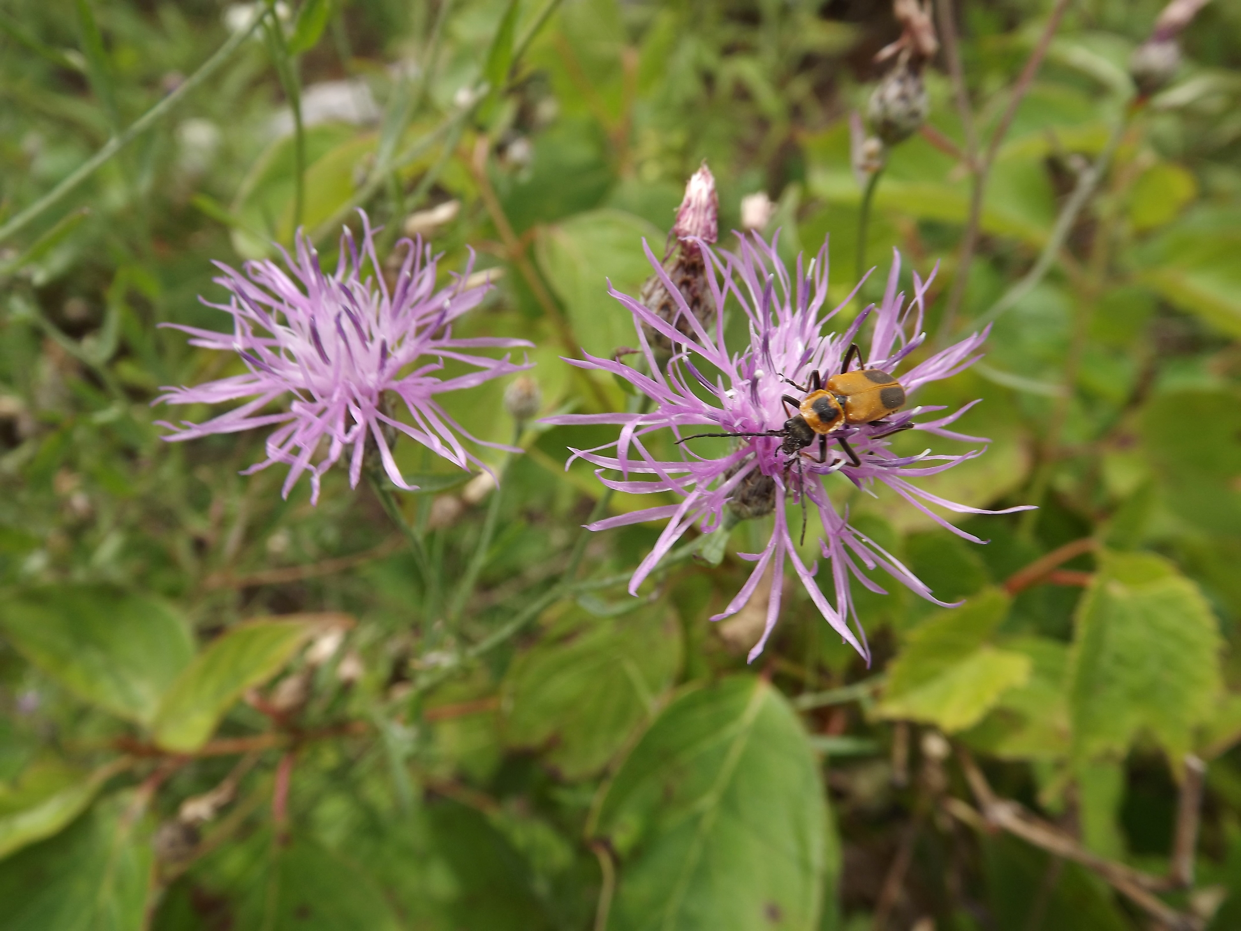 Canada Thistle ( Cirsium arvense ) - Canada Thistle is not native to our area, but can be found in great abundance some years. Even though the plant is scrawny and tall, its flowers are rather beautiful.