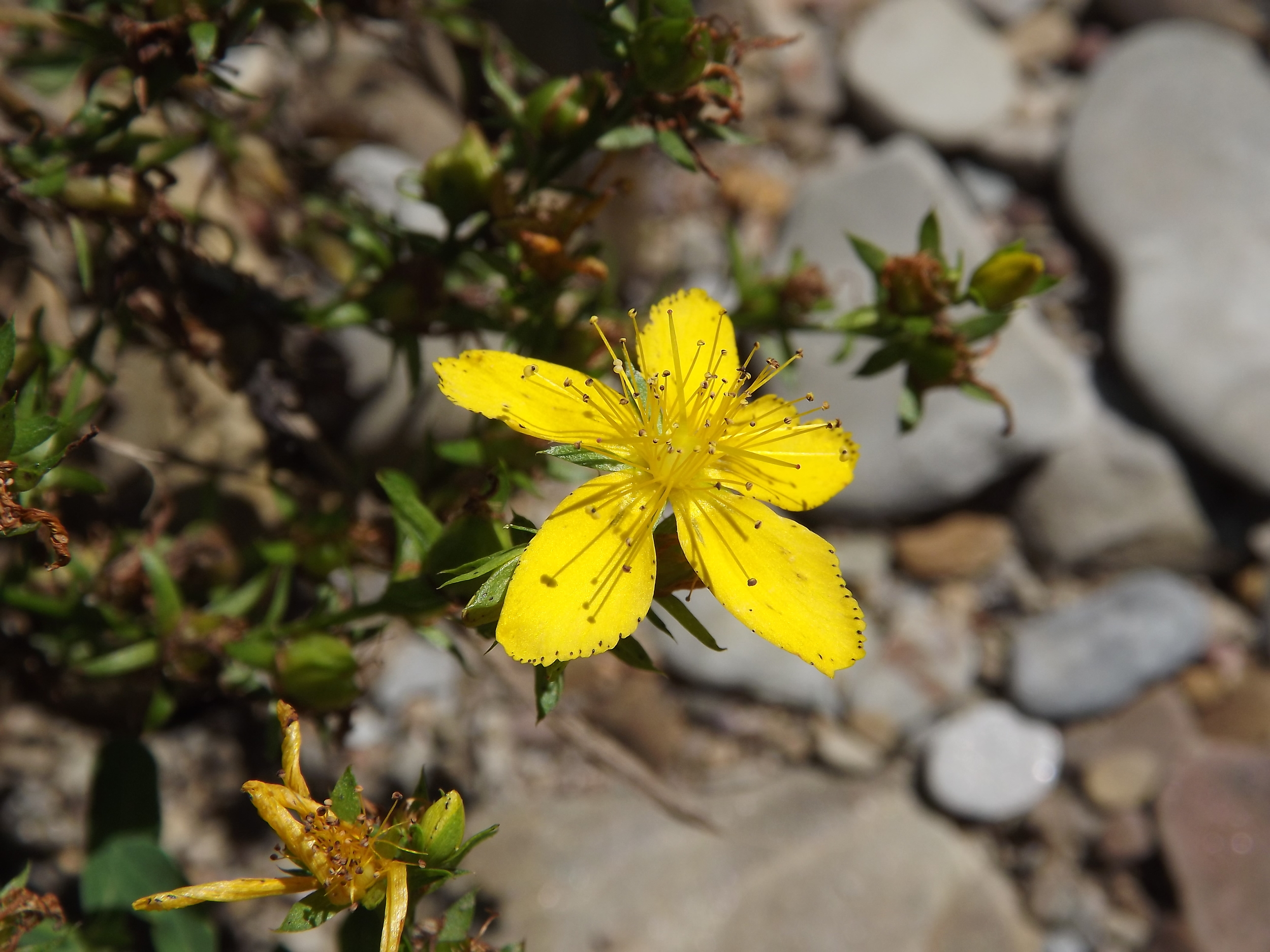 St. John's Wort ( Hypericum perforatum ) -  In the middle of the Main Branch, we found an alluvial island full of wildflowers.  This St. John's Wort was in full bloom on this beautiful sunny day.