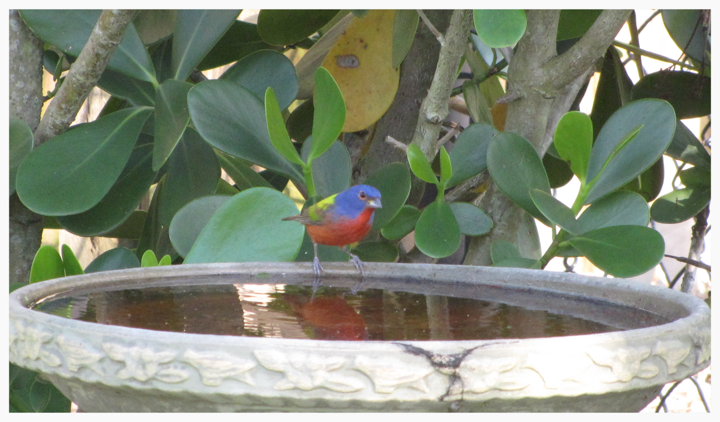 Percy, our resident PAINTED BUNTING. He and his wife Penny show up every year.