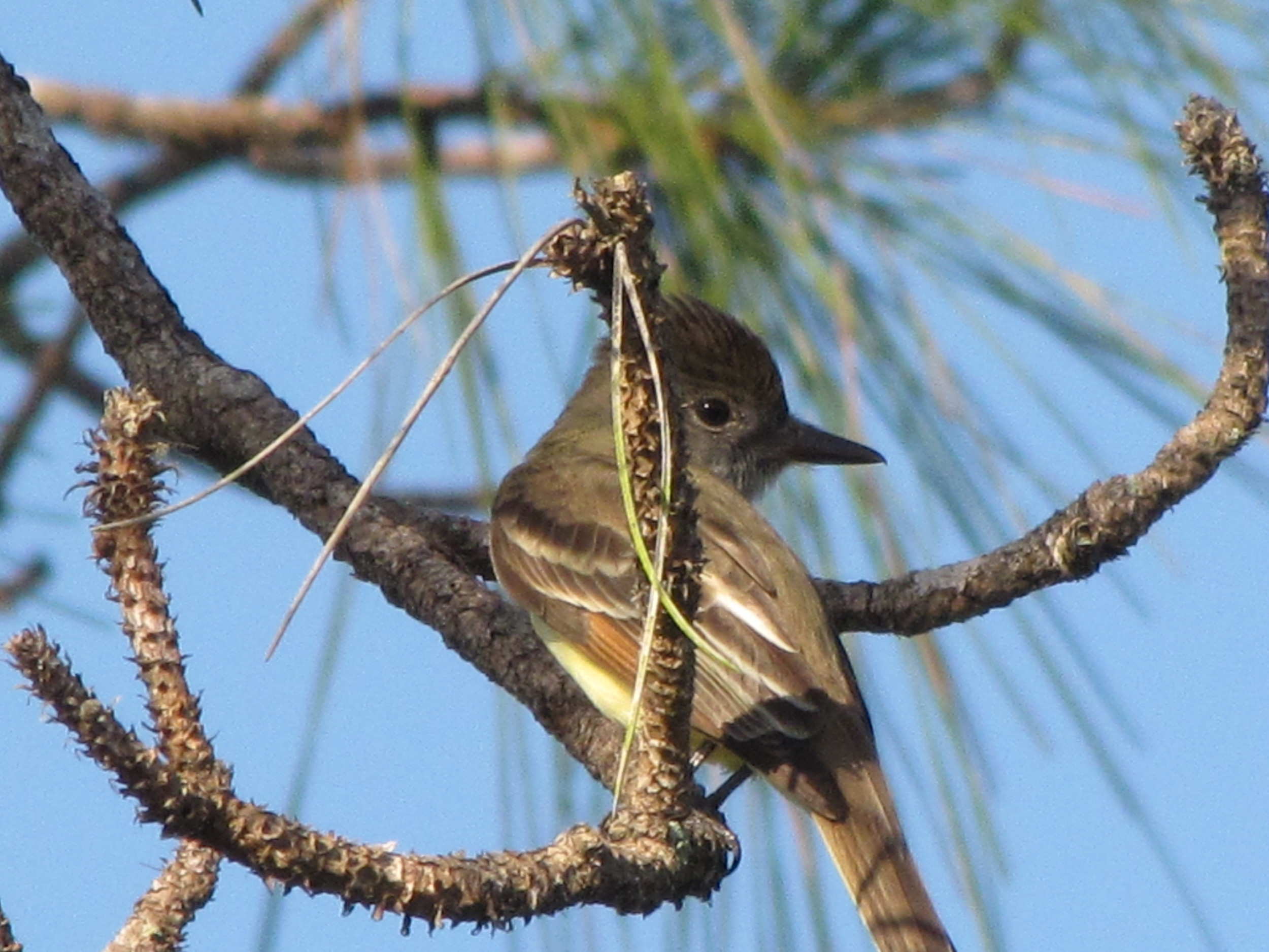 The Great crested flycatcher