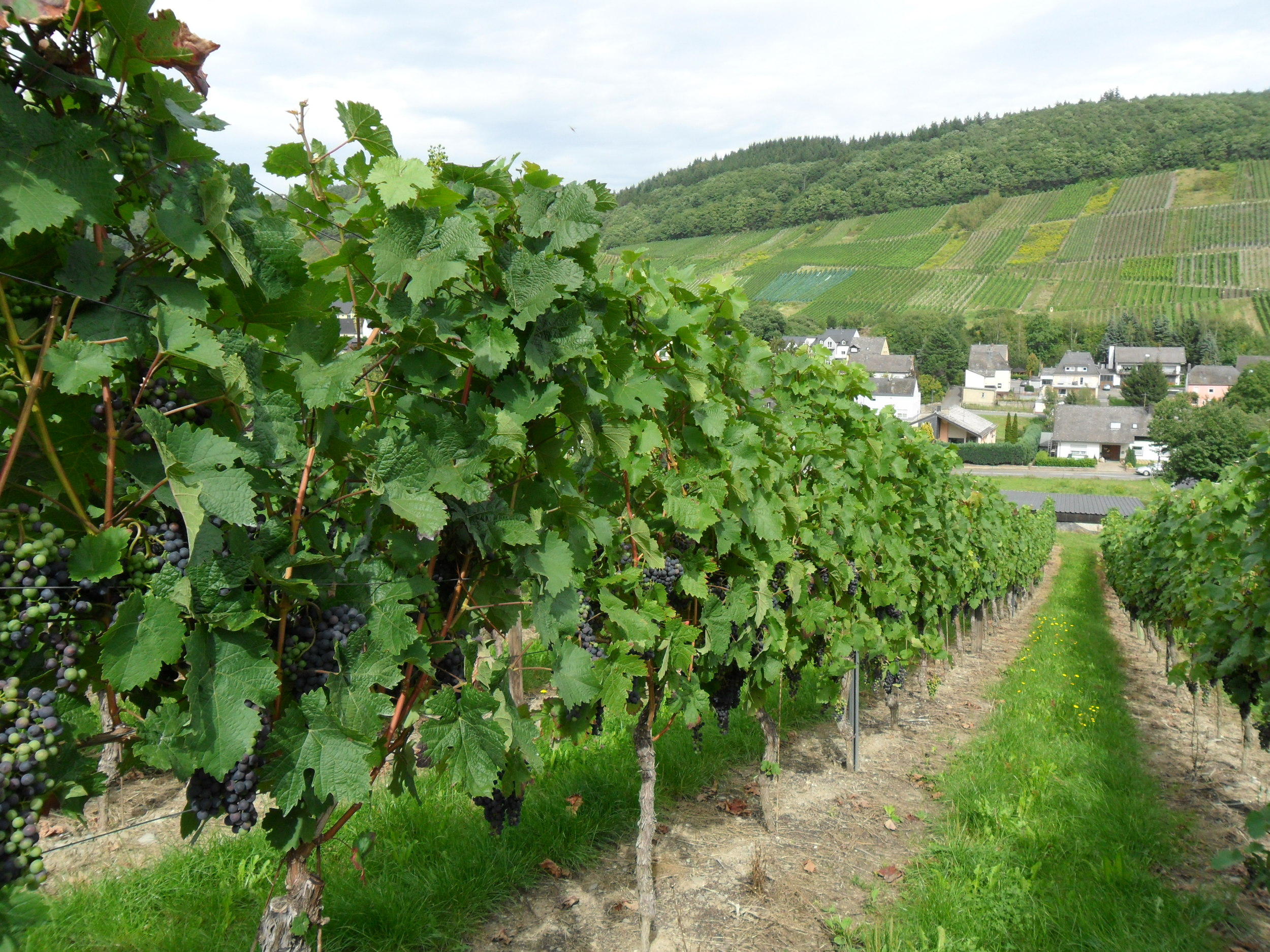 Mosel_Riesling_grapes.JPG